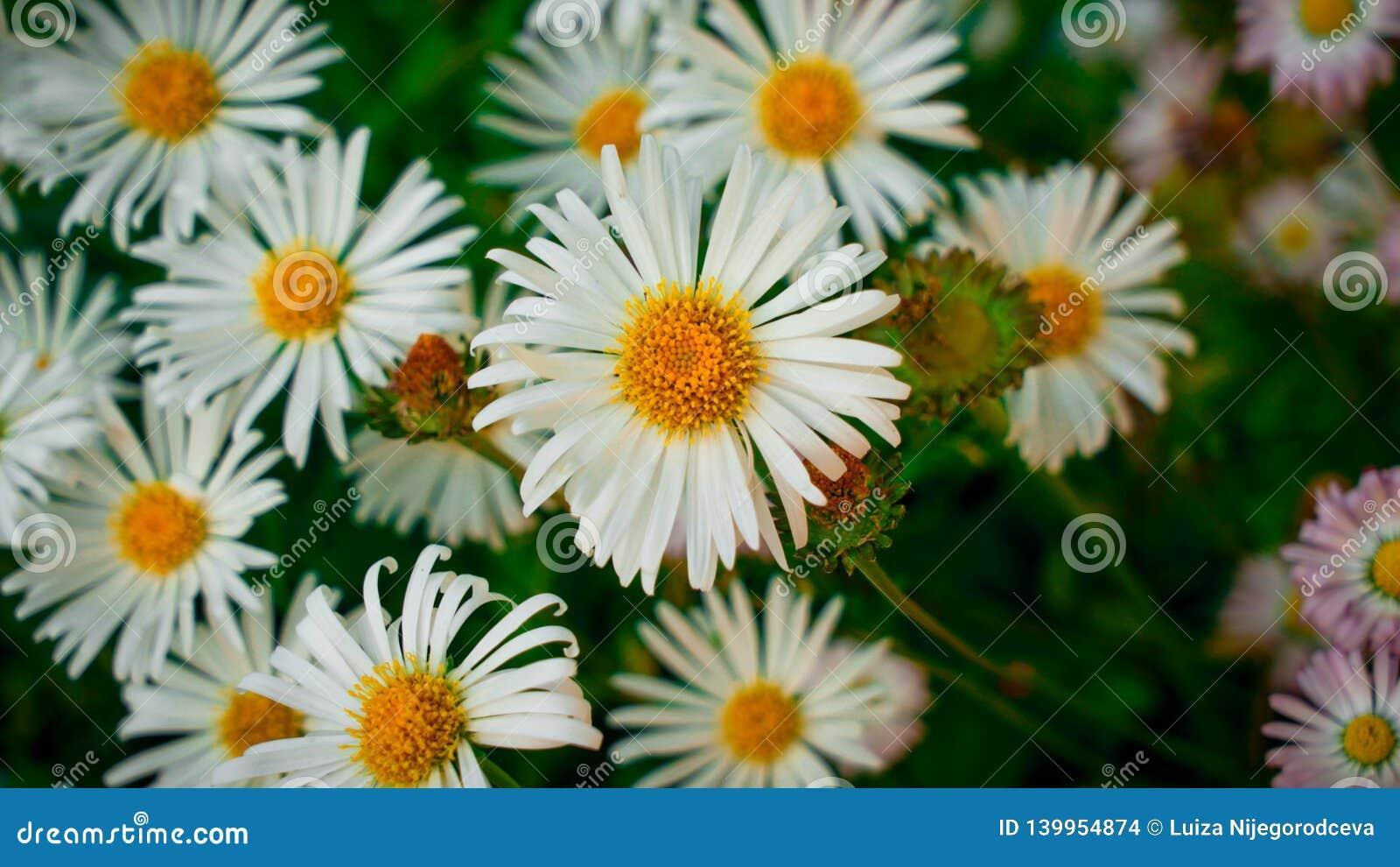 Άσπρες μαργαρίτες στον κήπο