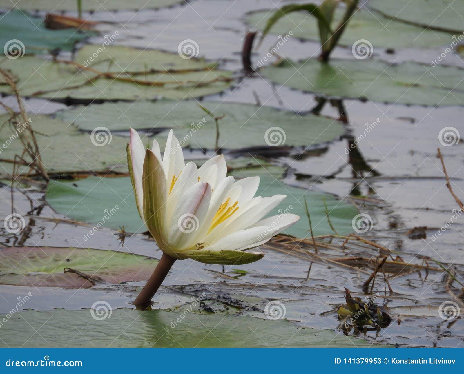 Άσπροι κρίνοι νερού, λίμνη με τα πράσινα φύλλα