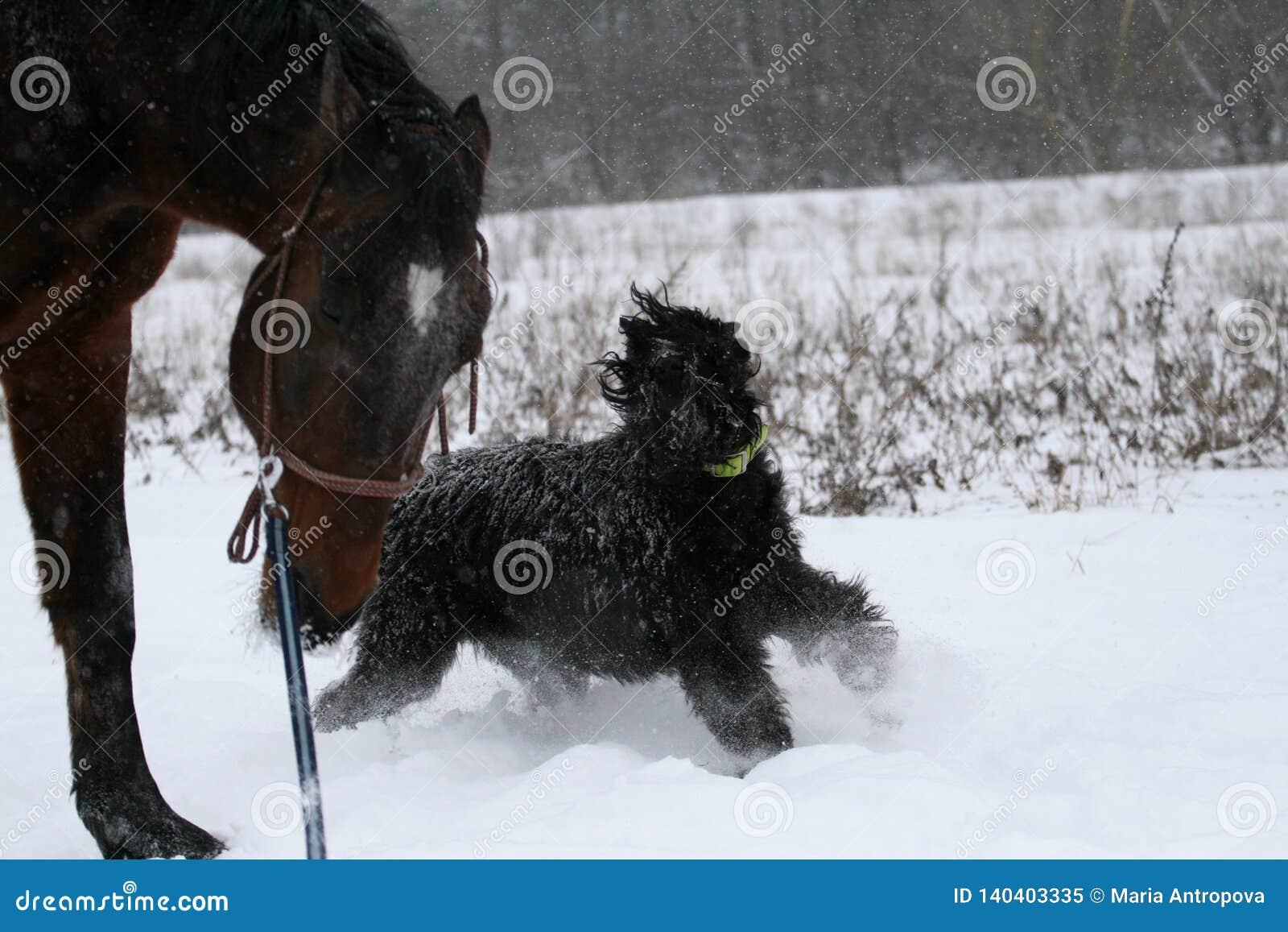 Ένας γιγαντιαίος schnauzer στα τρεξίματα επιβητόρων αλόγων τρεξίματος Α σε ένα σκοινί, ένα σκυλί â€ ‹â€ ‹ροκανίζεται από τον έναν