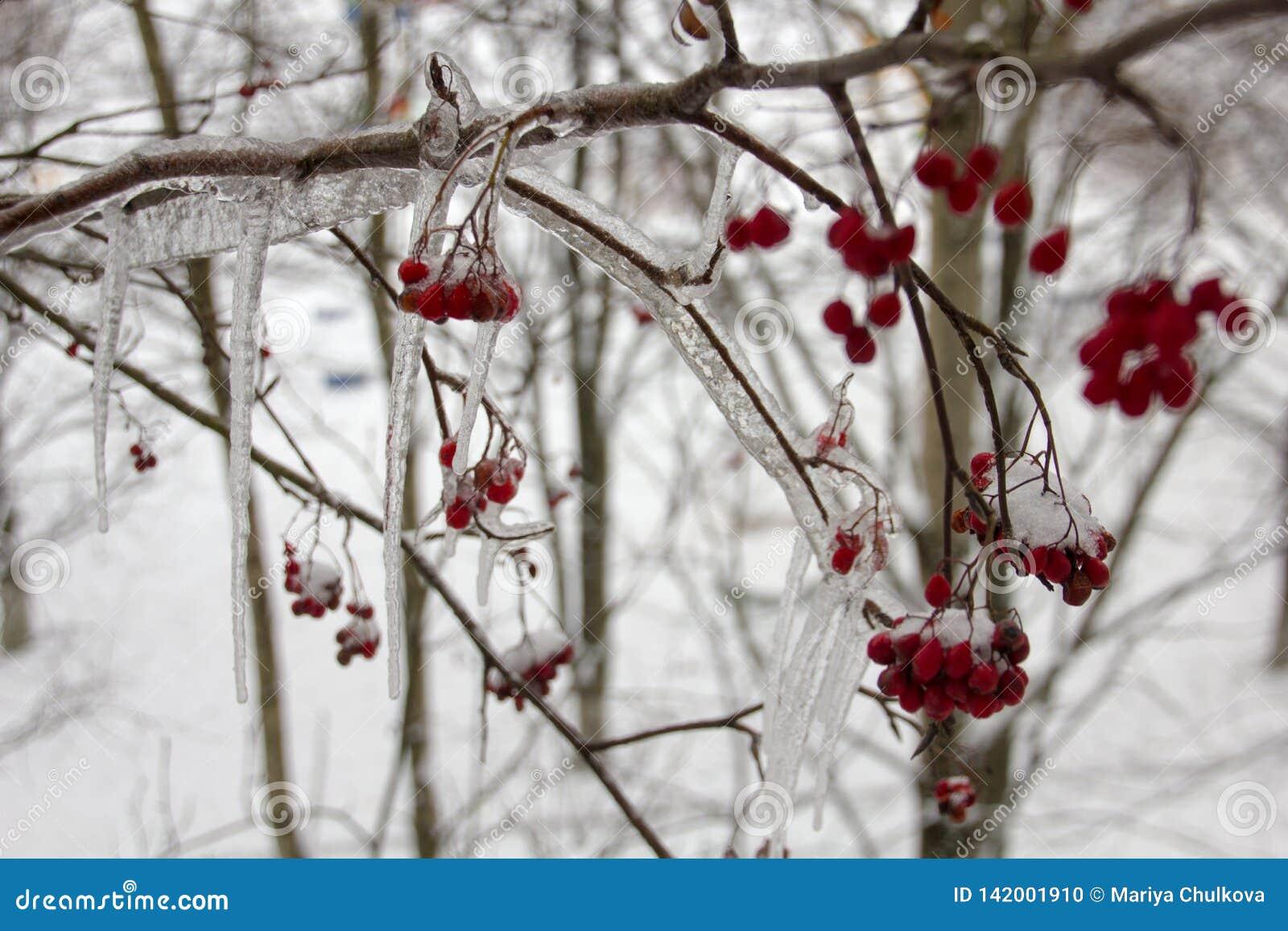 Ένας κλάδος των μούρων του Rowan το χειμώνα