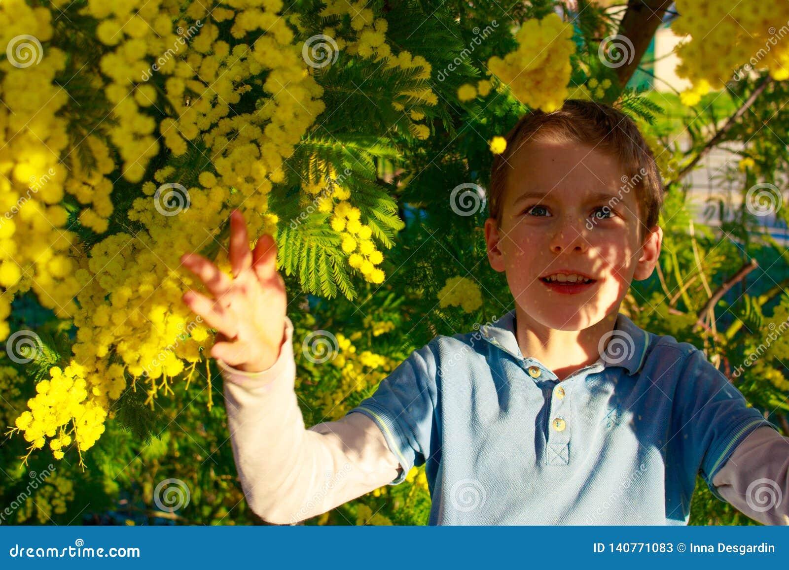Ένα χαμογελώντας αγόρι που παίζει με τις κίτρινες σφαίρες του δέντρου Mimosa Διακοπές της νότιας Γαλλίας ερχόμενη άνοιξη Πρόωρη ά