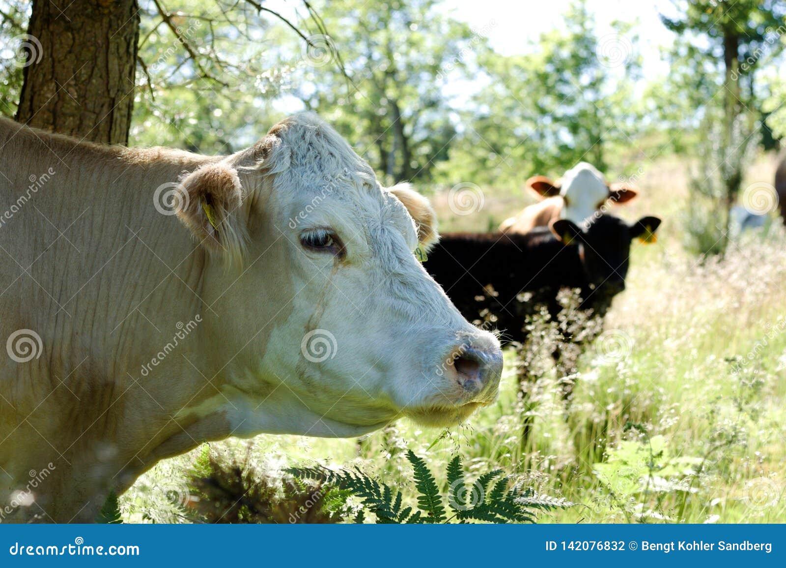 Αγελάδα που στέκεται κάτω από ένα δέντρο στην ψηλή χλόη