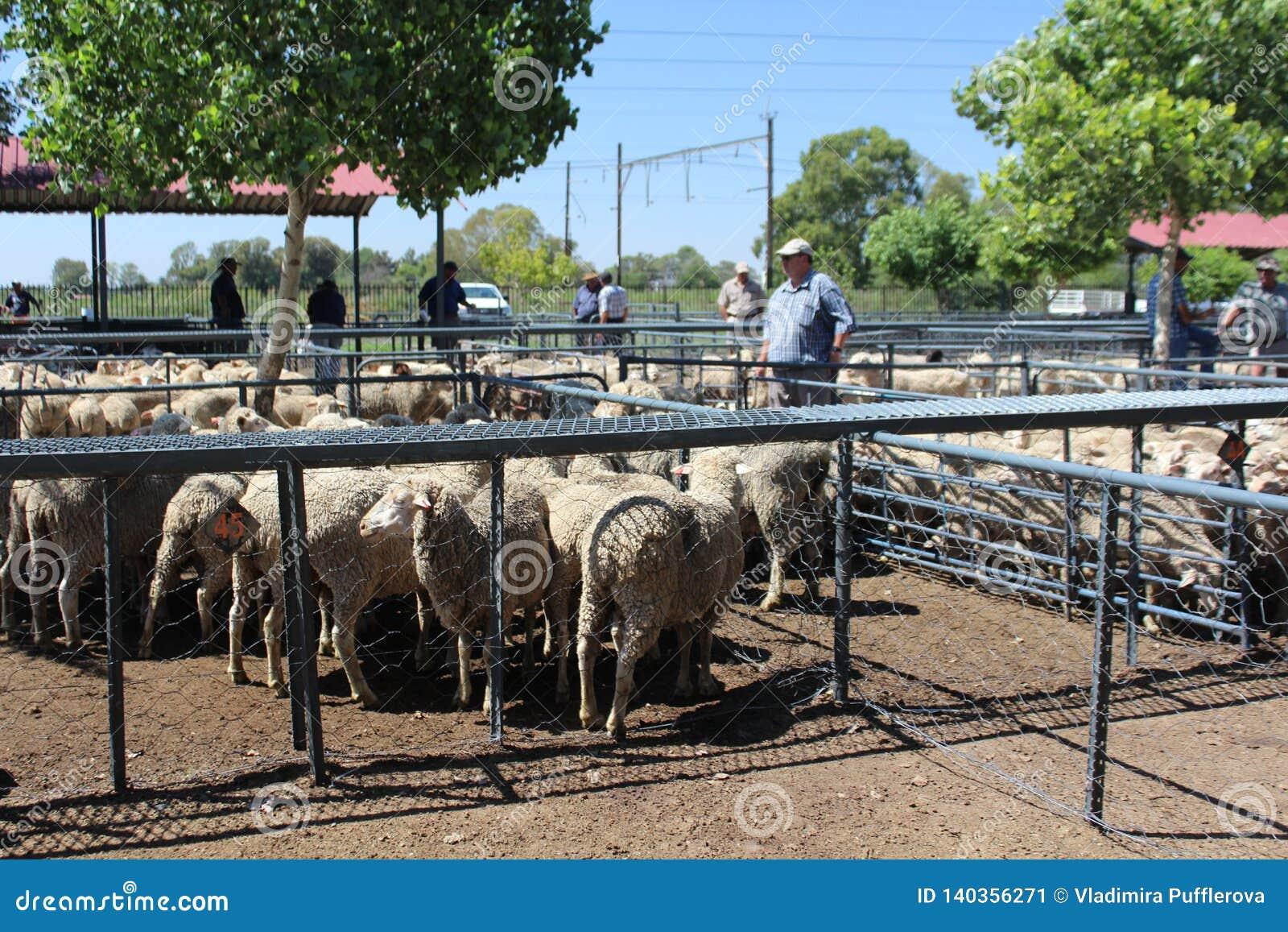 Αγρότες που προσέχουν τα πρόβατα στα συνημμένα σε μια δημοπρασία του ζωικού κεφαλαίου στο Bloemfontein, Νότια Αφρική