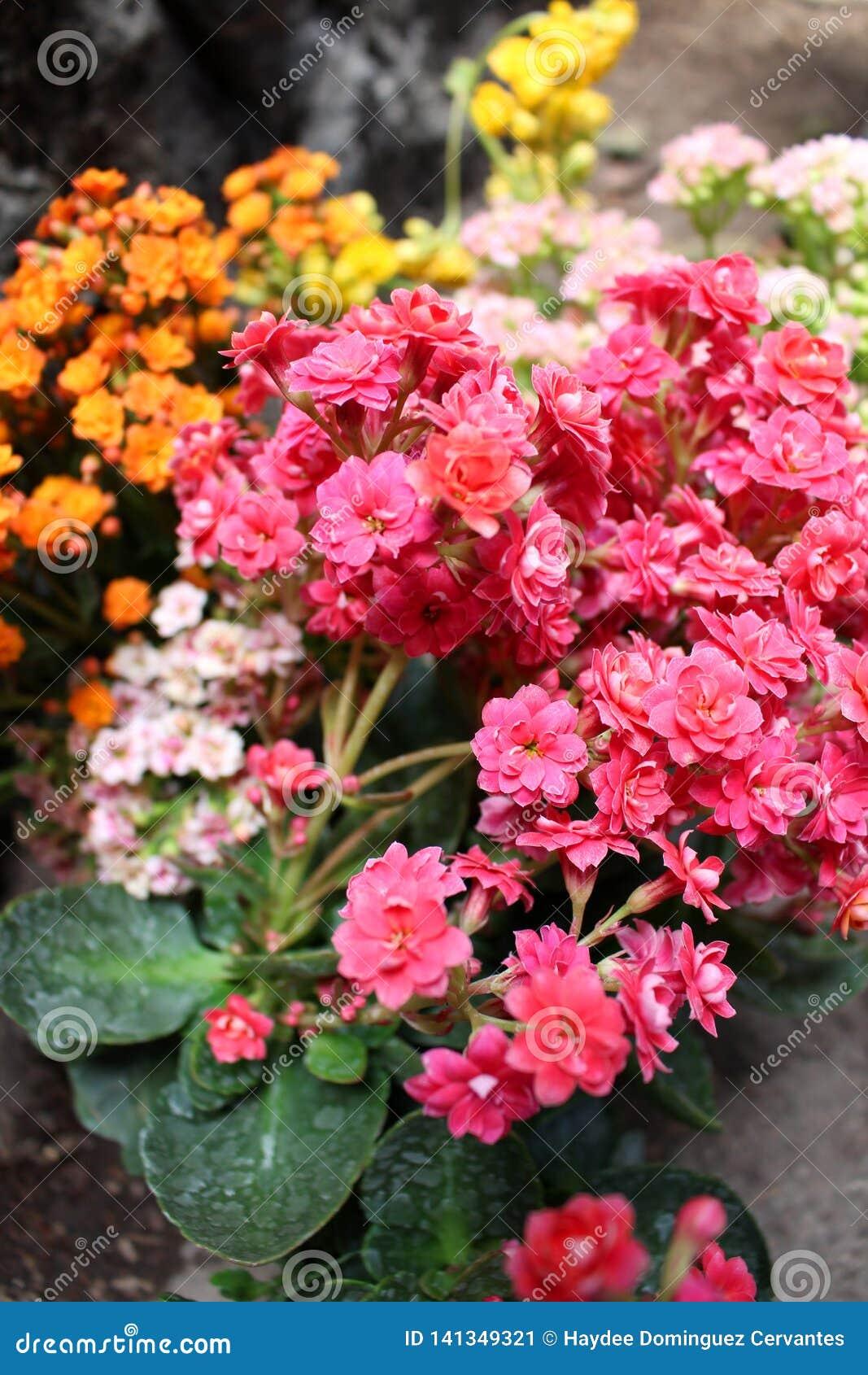 Ανθοδέσμη των μικροσκοπικών λουλουδιών των εγκαταστάσεων kalanchoe