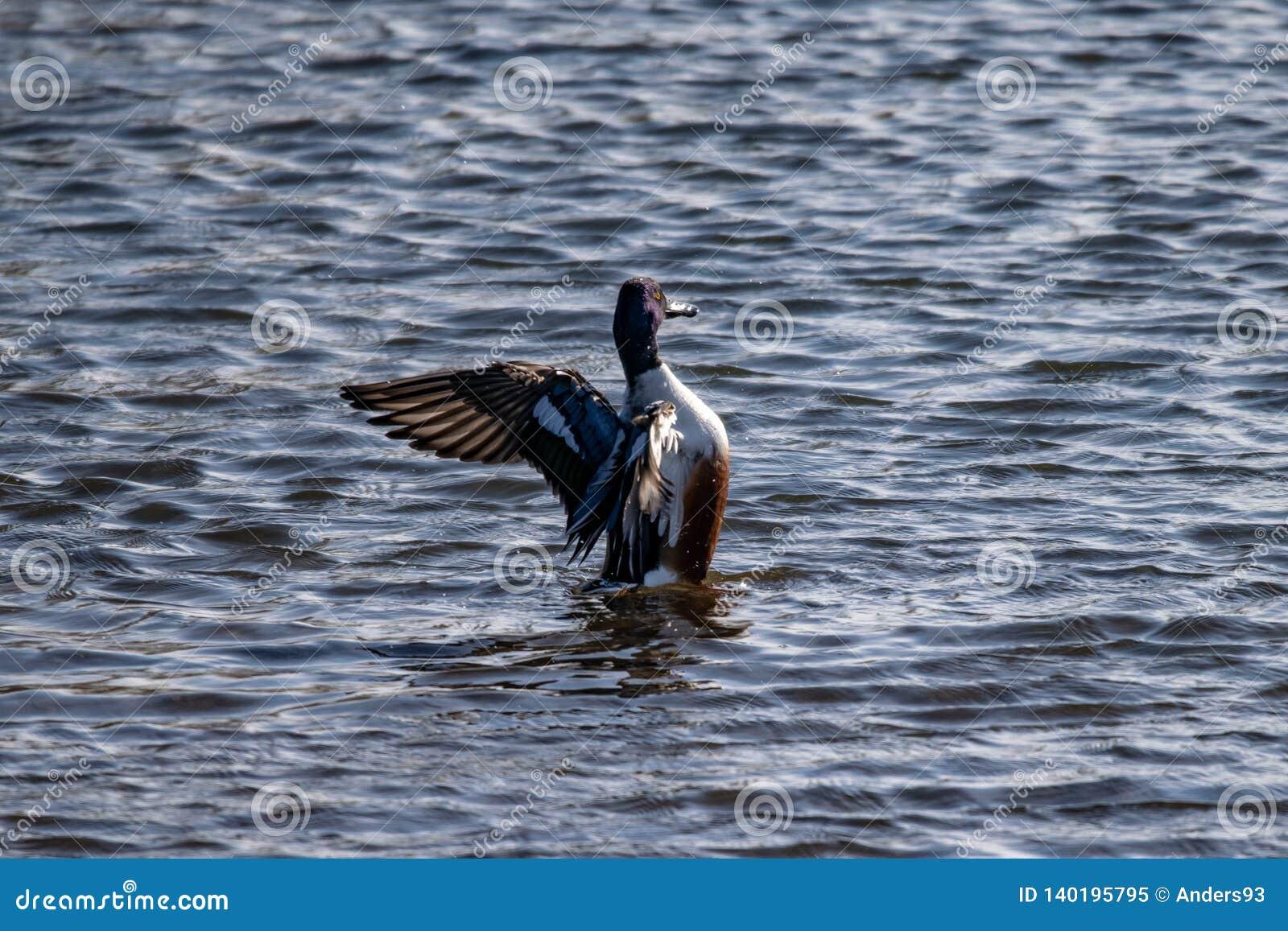 Αρσενικά βόρεια Spatula παπιών χουλιαράδων χτυπώντας φτερά clypeata