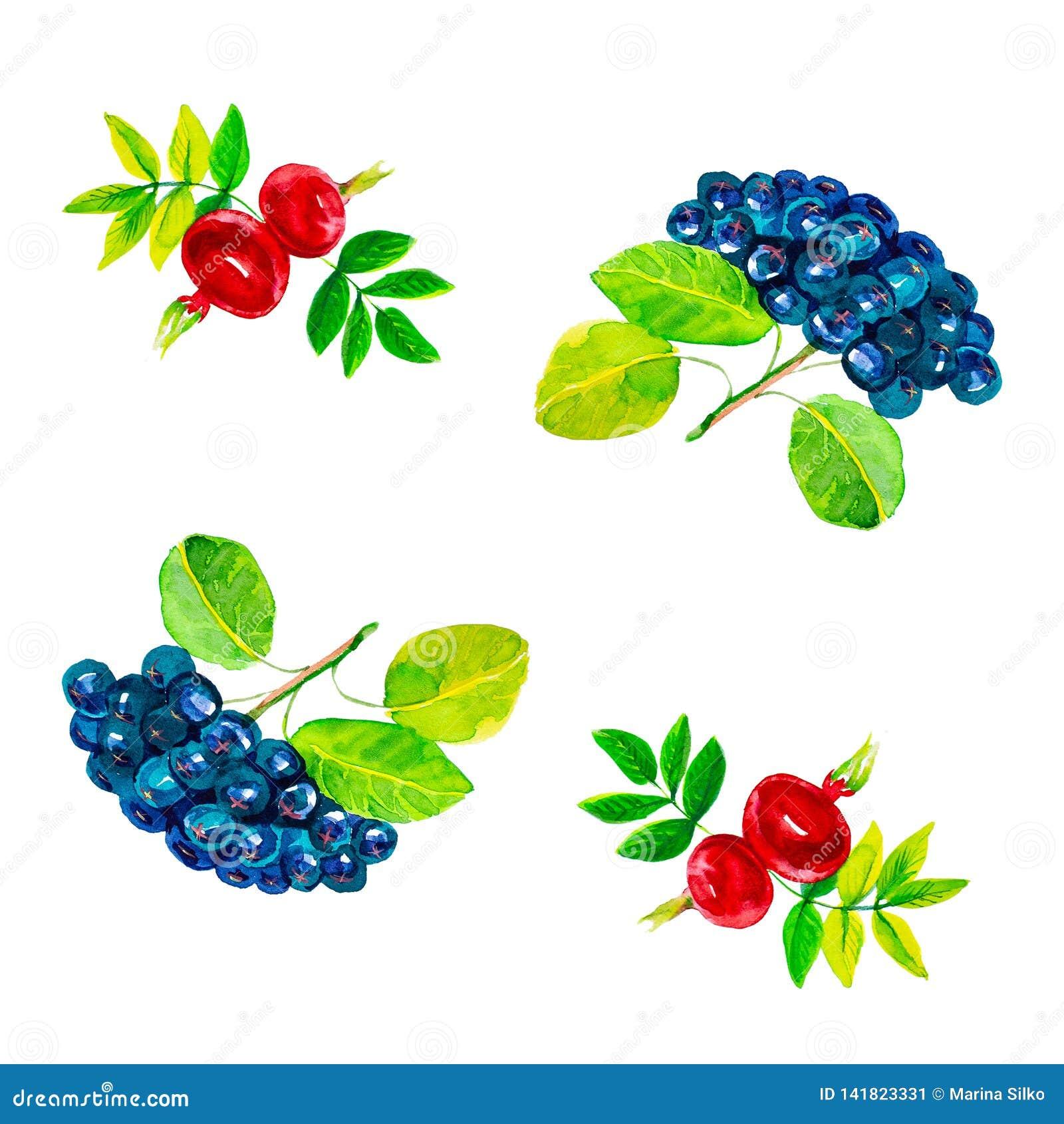 Αφηρημένη απεικόνιση watercolor rosehip των λουλουδιών και των μούρων με τα φύλλα και μαύρο chokeberry η ανασκόπηση απομόνωσε το