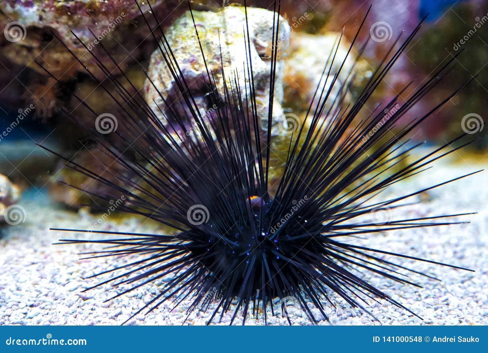 Αχινός με τις τεράστιες ακίδες Σκανταλιάρικο παιδί Μαύρης Θάλασσας