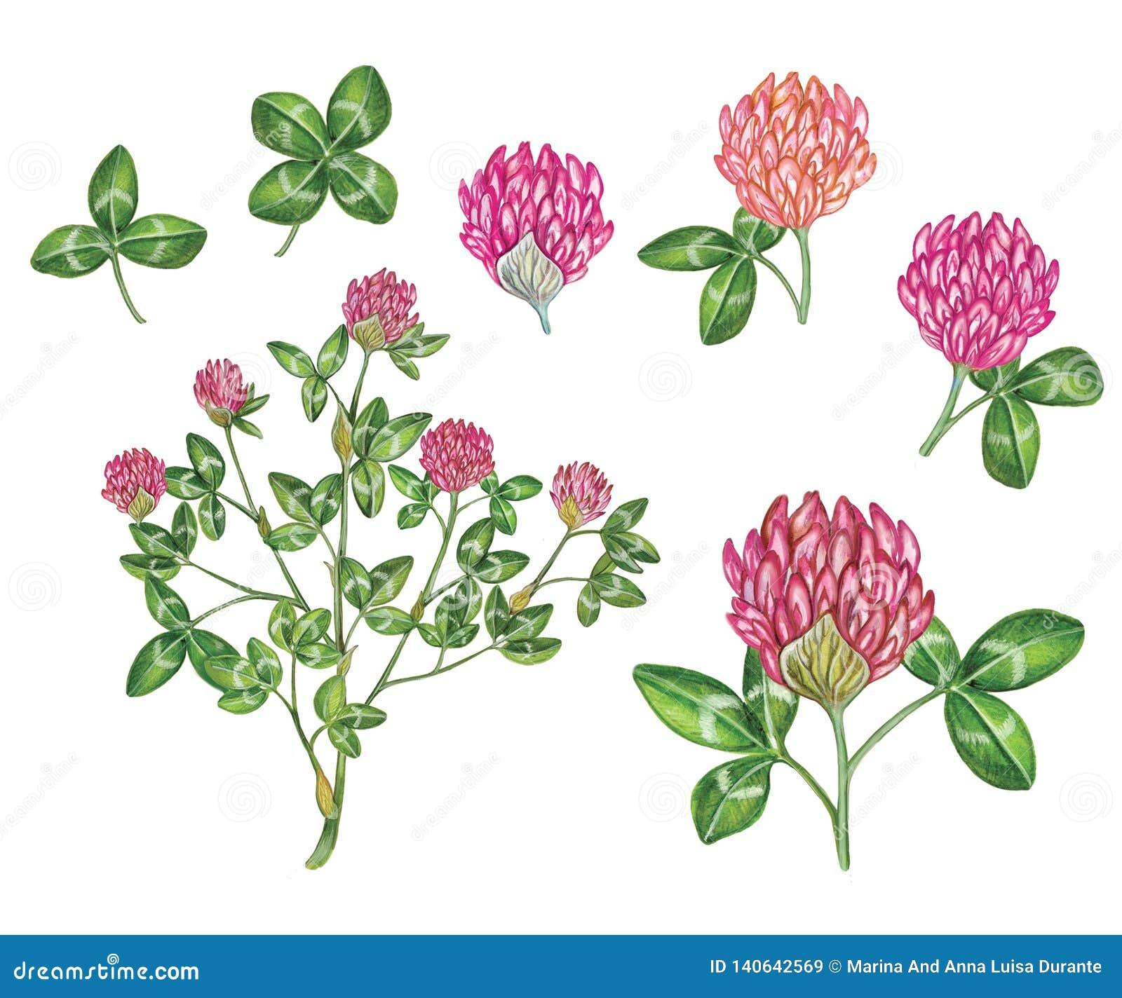 Βοτανικό ρεαλιστικό χέρι watercolor - γίνοντη απεικόνιση trifolium κόκκινου τριφυλλιού pratense