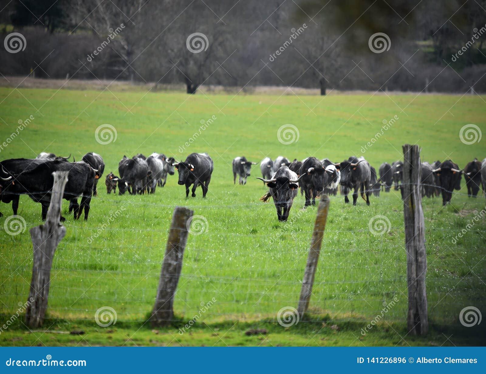 Γενναίος ταύρος στον τομέα με τα μεγάλα κέρατα