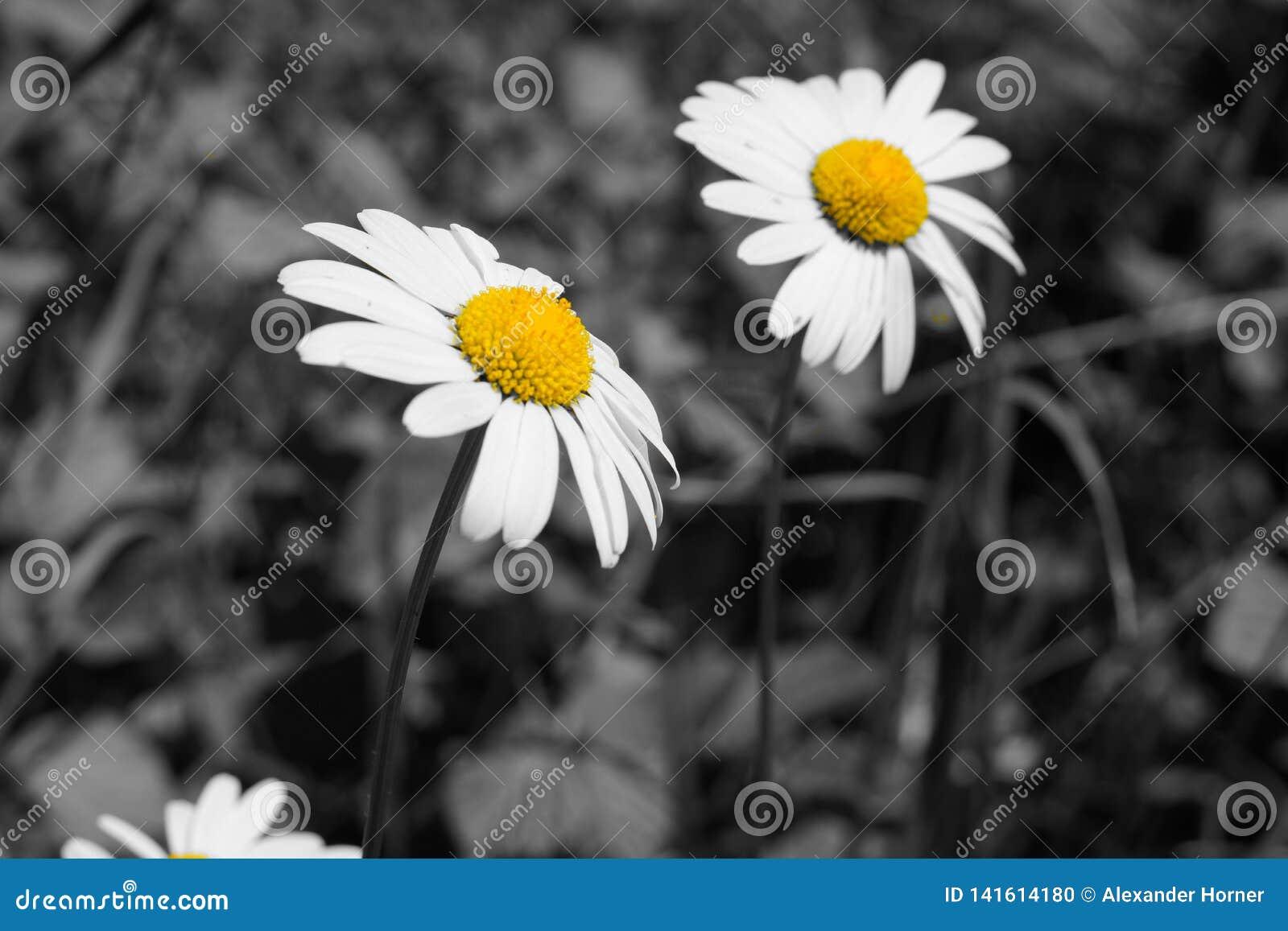 Γραπτή και κίτρινη εικόνα των λουλουδιών μαργαριτών