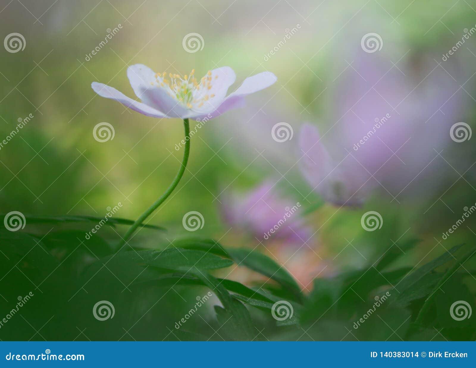 Ενιαίο άσπρο ξύλινο anemone στο παλιό ονειροπόλο δάσος άνοιξη