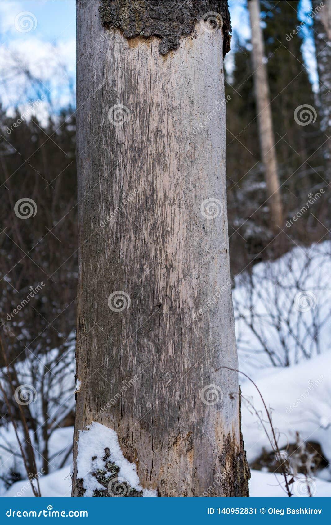 Ζημία στο δέντρο μετά από το ευρωπαϊκό κομψό typographus διεθνών ειδησεογραφικών πρακτορείων κανθάρων φλοιών