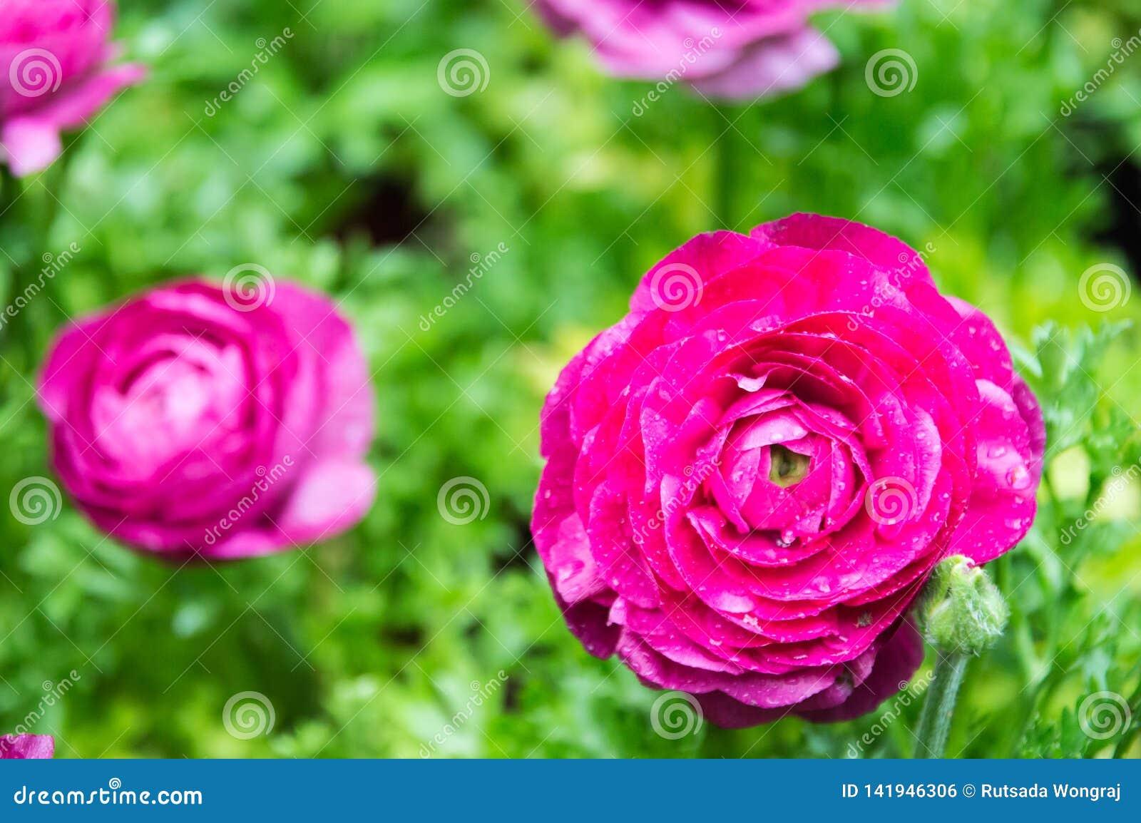Η ρόδινη όμορφη άνθιση Ranuncul μέσα