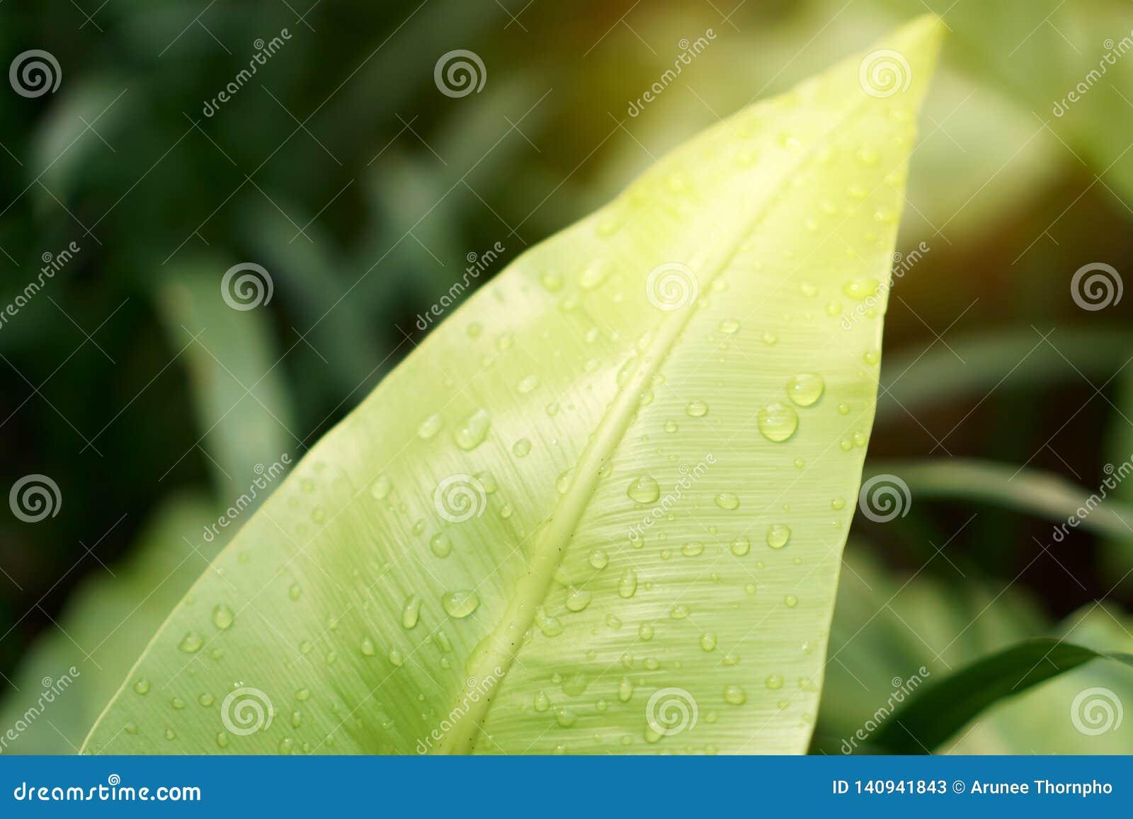 Η φωτογραφία κινηματογραφήσεων σε πρώτο πλάνο των σταγόνων βροχής στο φρέσκο πράσινο φύλλο της φτέρης φωλιών του πουλιού κάτω από