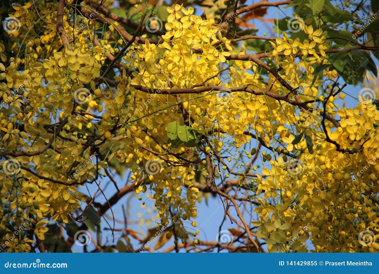 θαμνώδης Χρυσό ντους με τα πράσινους φύλλα και το μπλε ουρανό