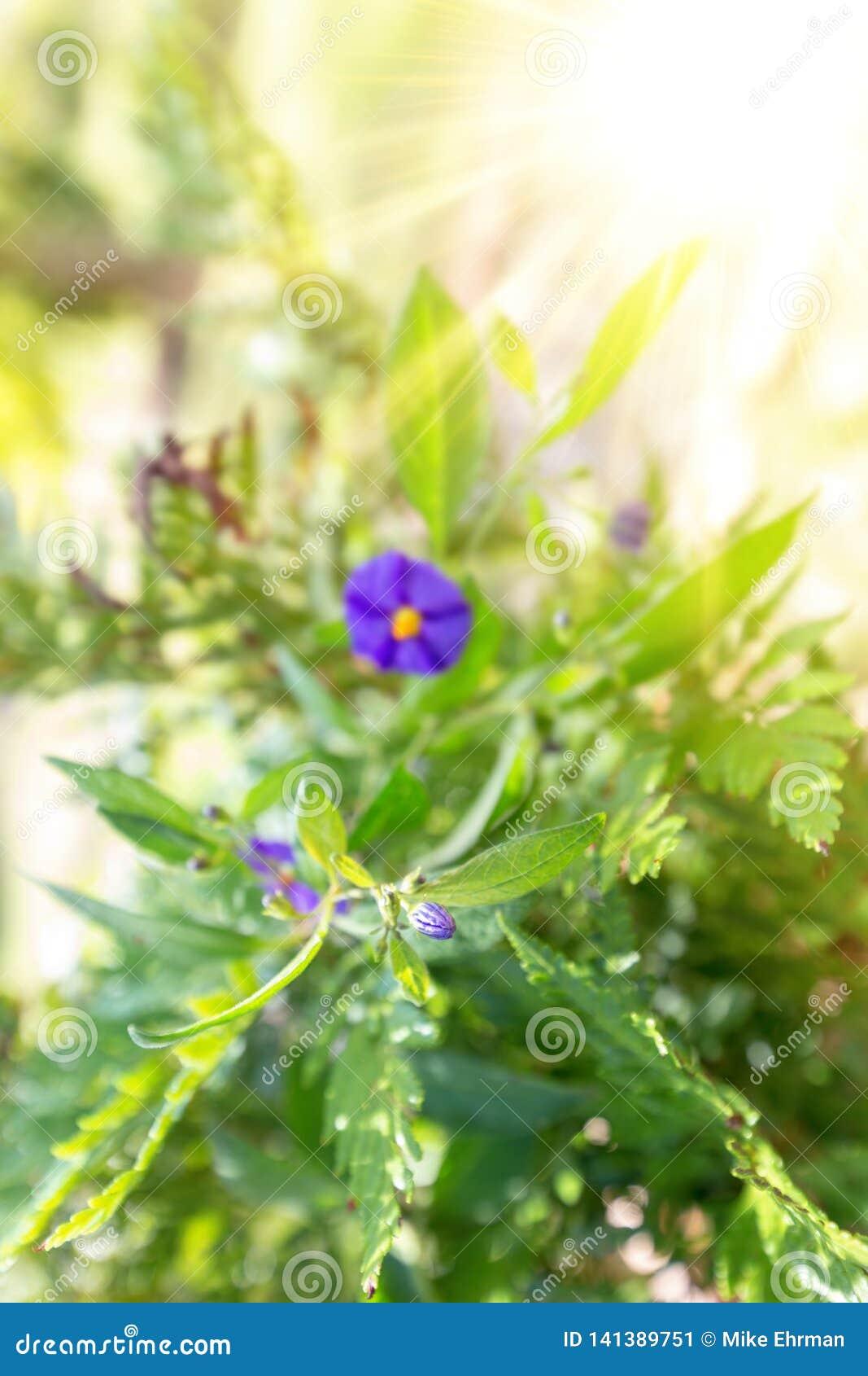 Θαμπάδα λουλουδιών κήπων