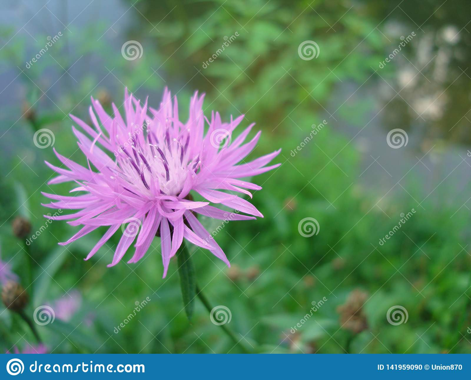 Ιώδες σιβηρικό cornflower λουλουδιών στο macrophoto