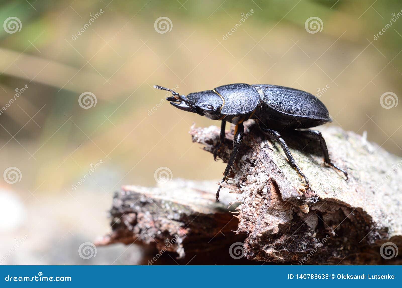 Κάνθαρος αρσενικών ελαφιών, parallelipipedus Dorcus