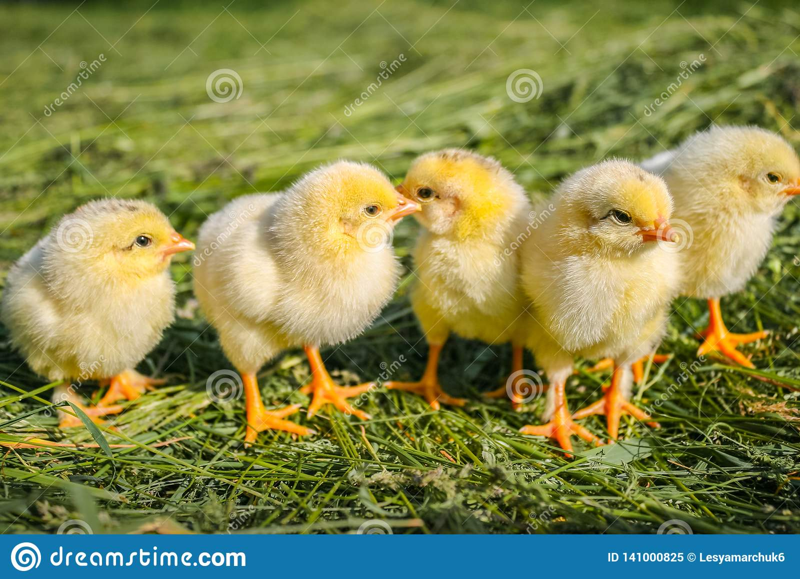 Κίτρινα κοτόπουλα σε έναν χορτοτάπητα σε ένα αγρόκτημα