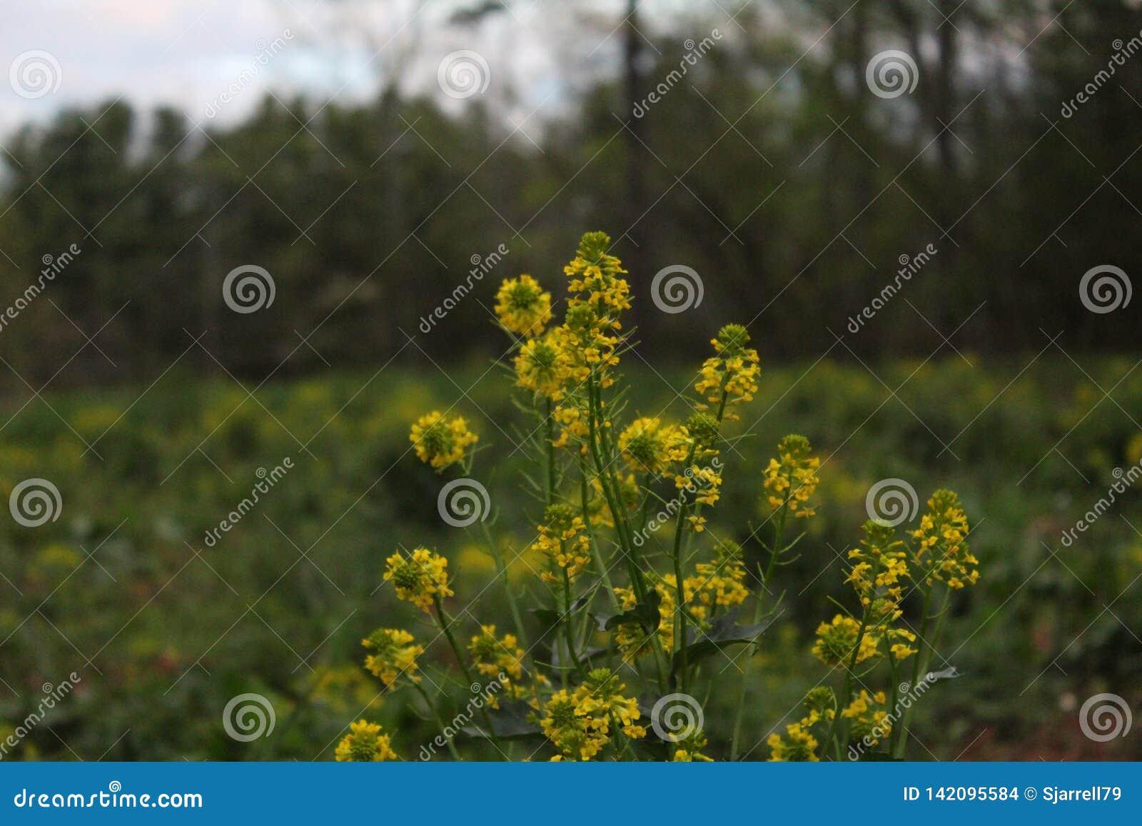 Κίτρινα wildflowers σε έναν τομέα στην άνοιξη