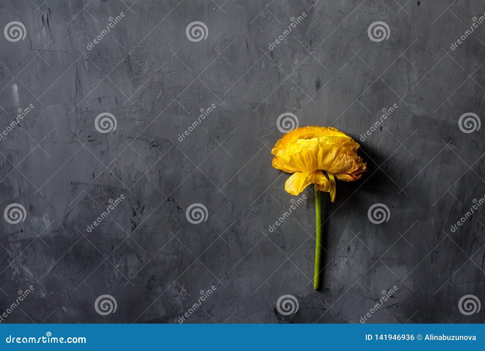 Κίτρινο λουλούδι που βρίσκεται στο γκρίζο συγκεκριμένο υπόβαθρο Επίπεδος βάλτε Τοπ όψη Διάστημα αντιγράφων για το κείμενο