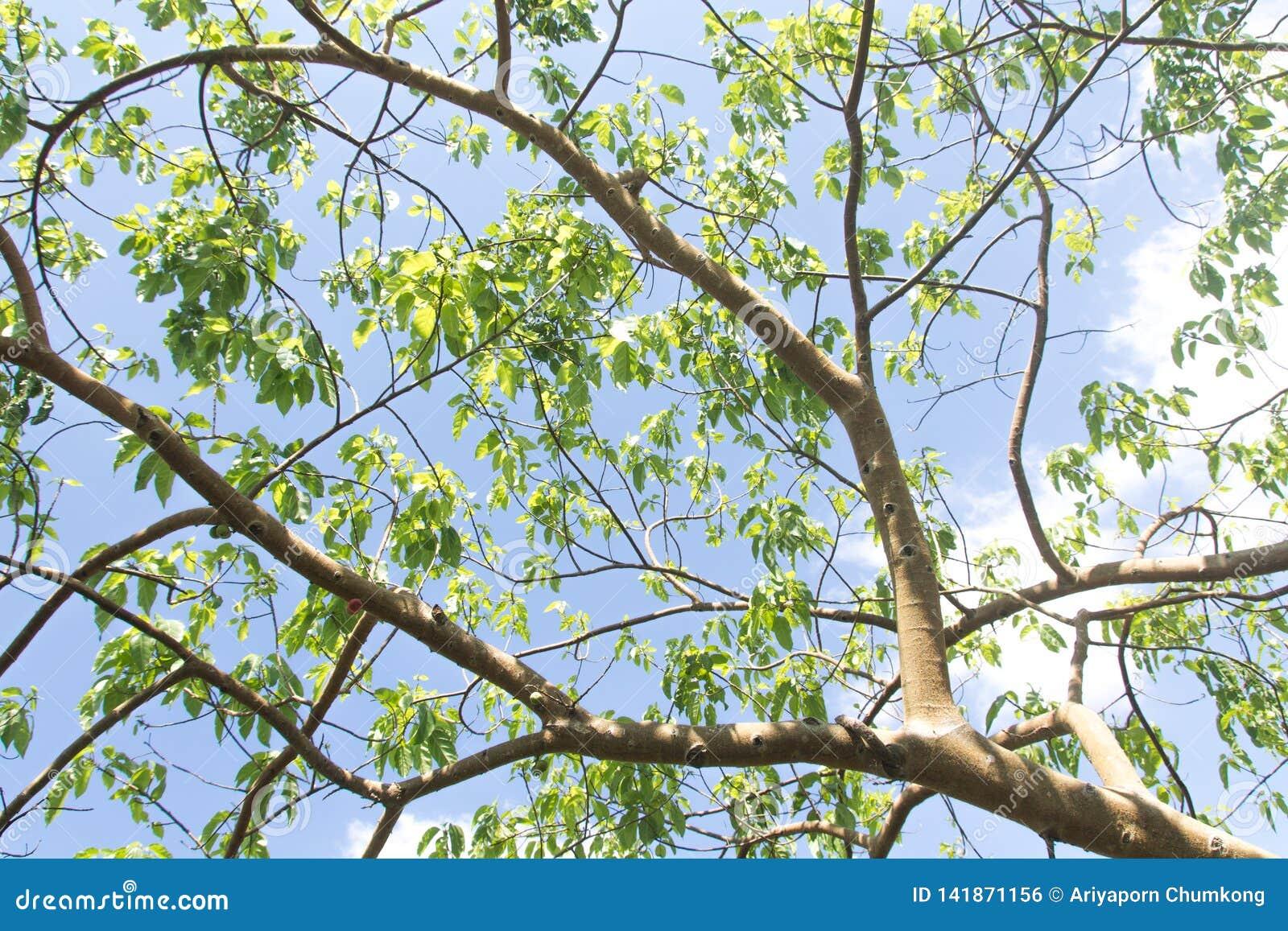 Κλάδος δέντρων και πράσινα φύλλα