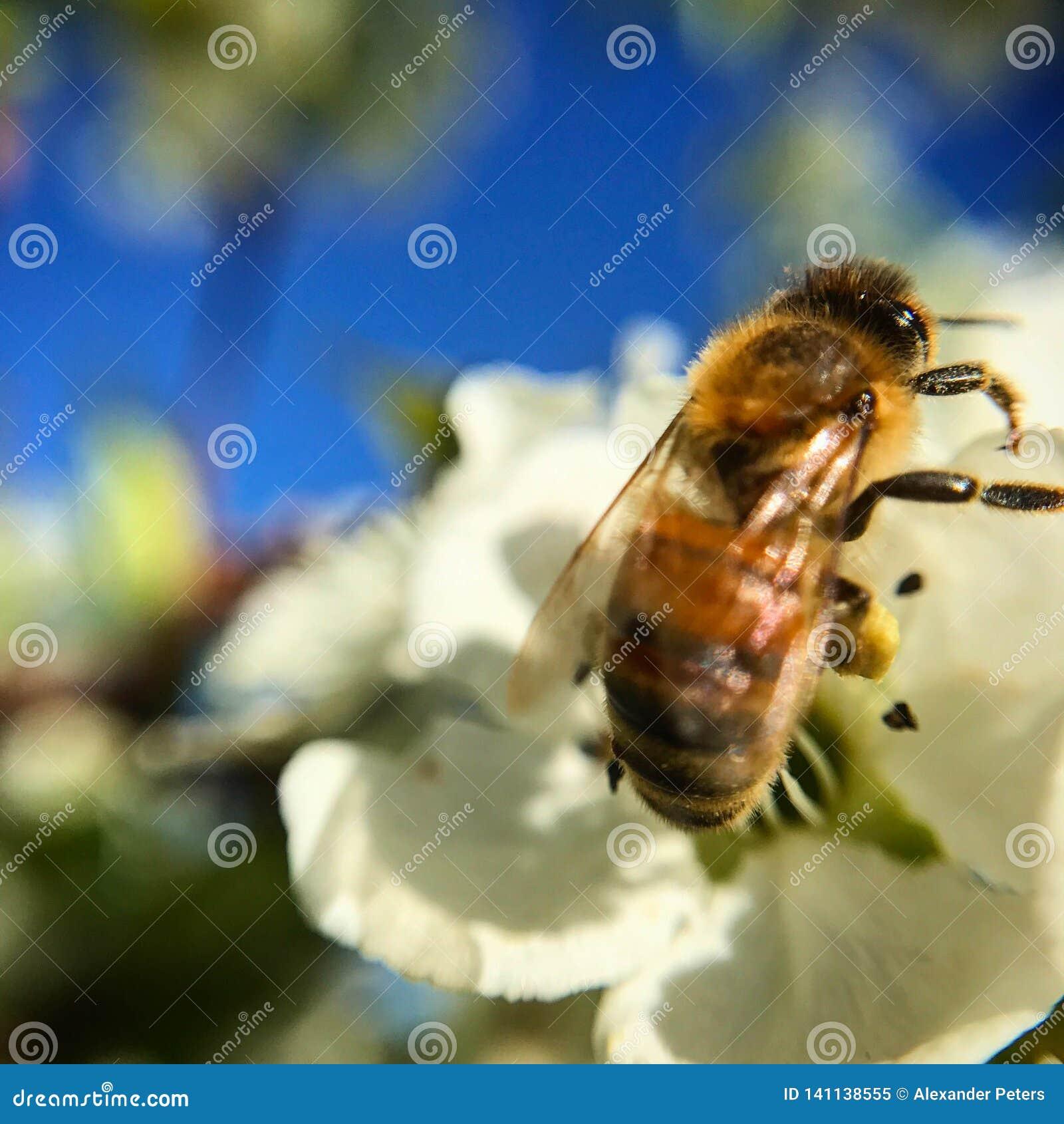 Κλείστε επάνω της μέλισσας την ηλιόλουστη ημέρα