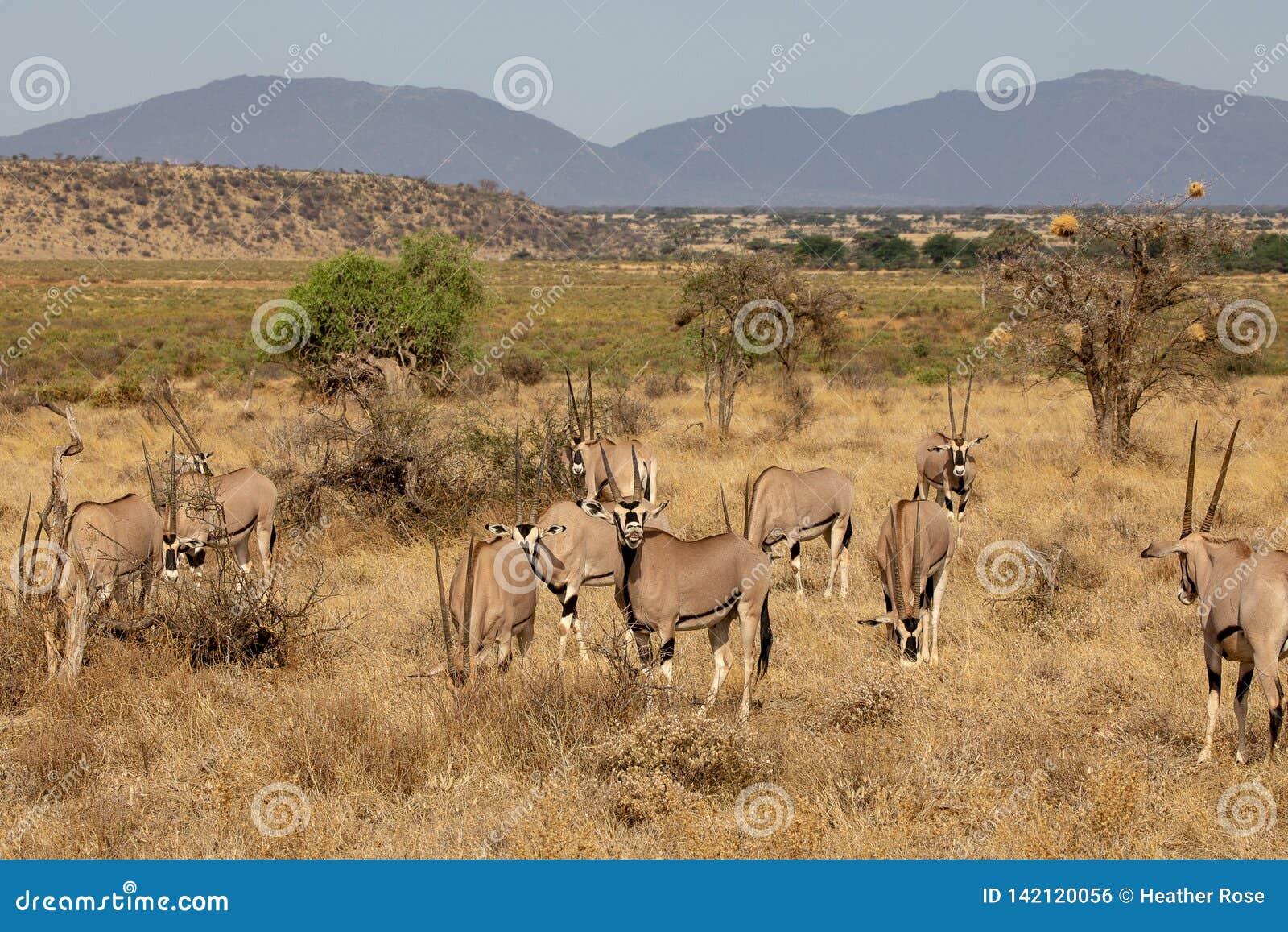 Κοπάδι Oryx, Κένυα, Αφρική