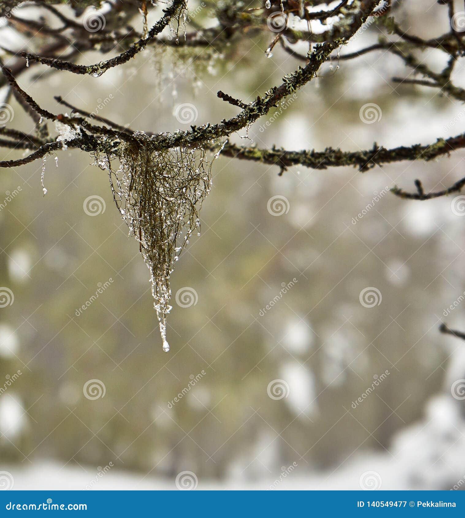 Κρεμώντας βρύο στο παλαιό δάσος