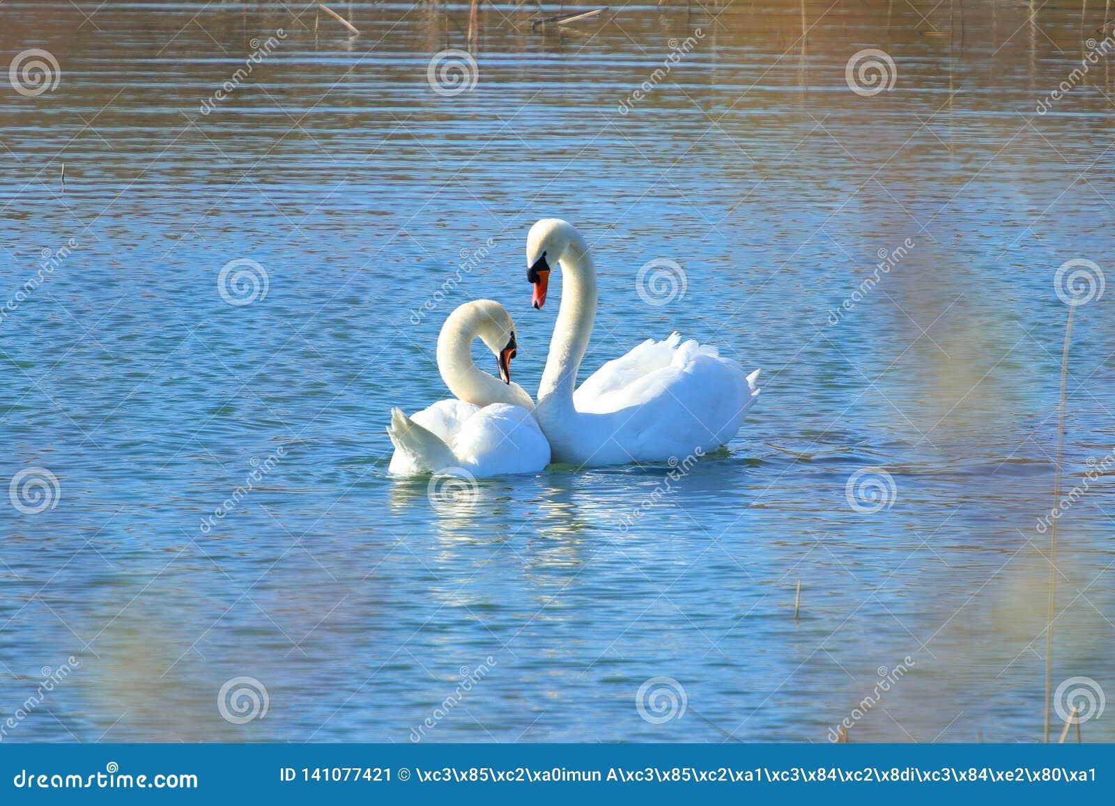 Κύκνοι στην ερωτοτροπία στη λίμνη