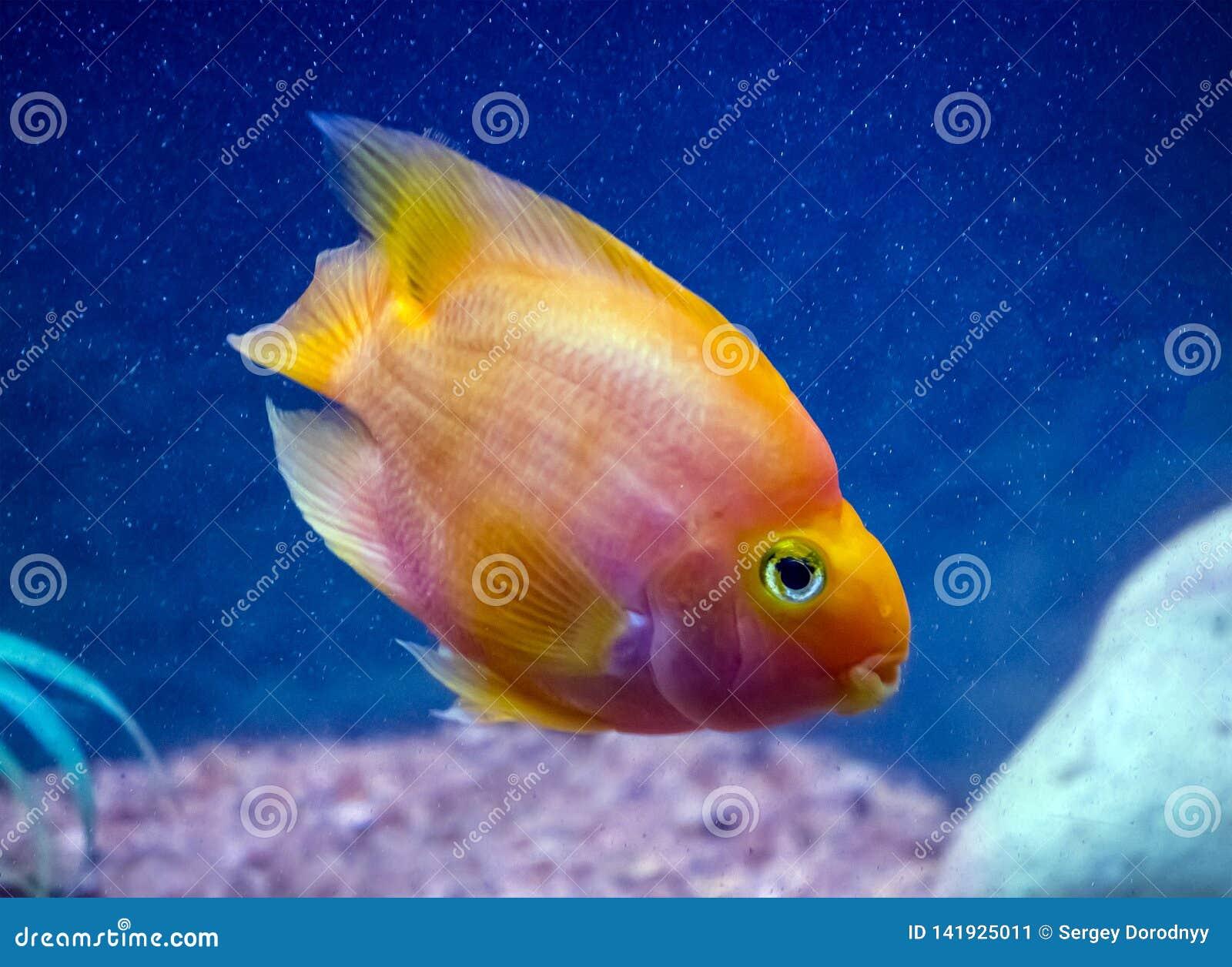 Κόκκινα ψάρια ενυδρείων παπαγάλων στο μπλε νερό
