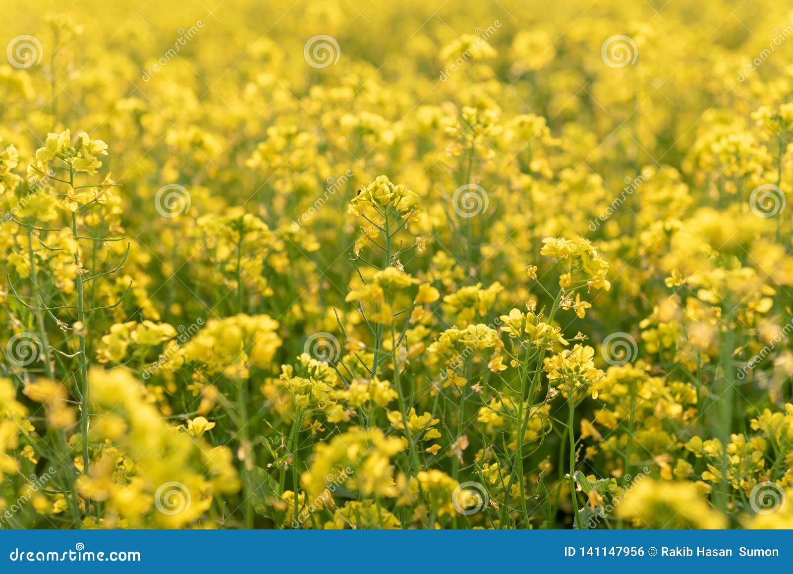 Λουλούδια μουστάρδας