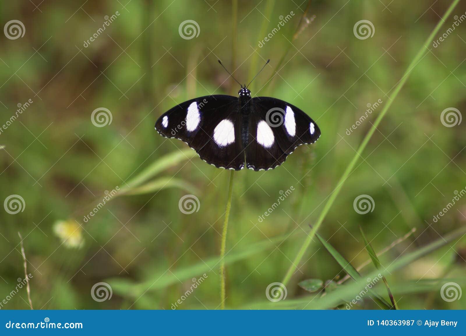 Μακροεντολή μιας πεταλούδας που επεκτείνει τα φτερά του