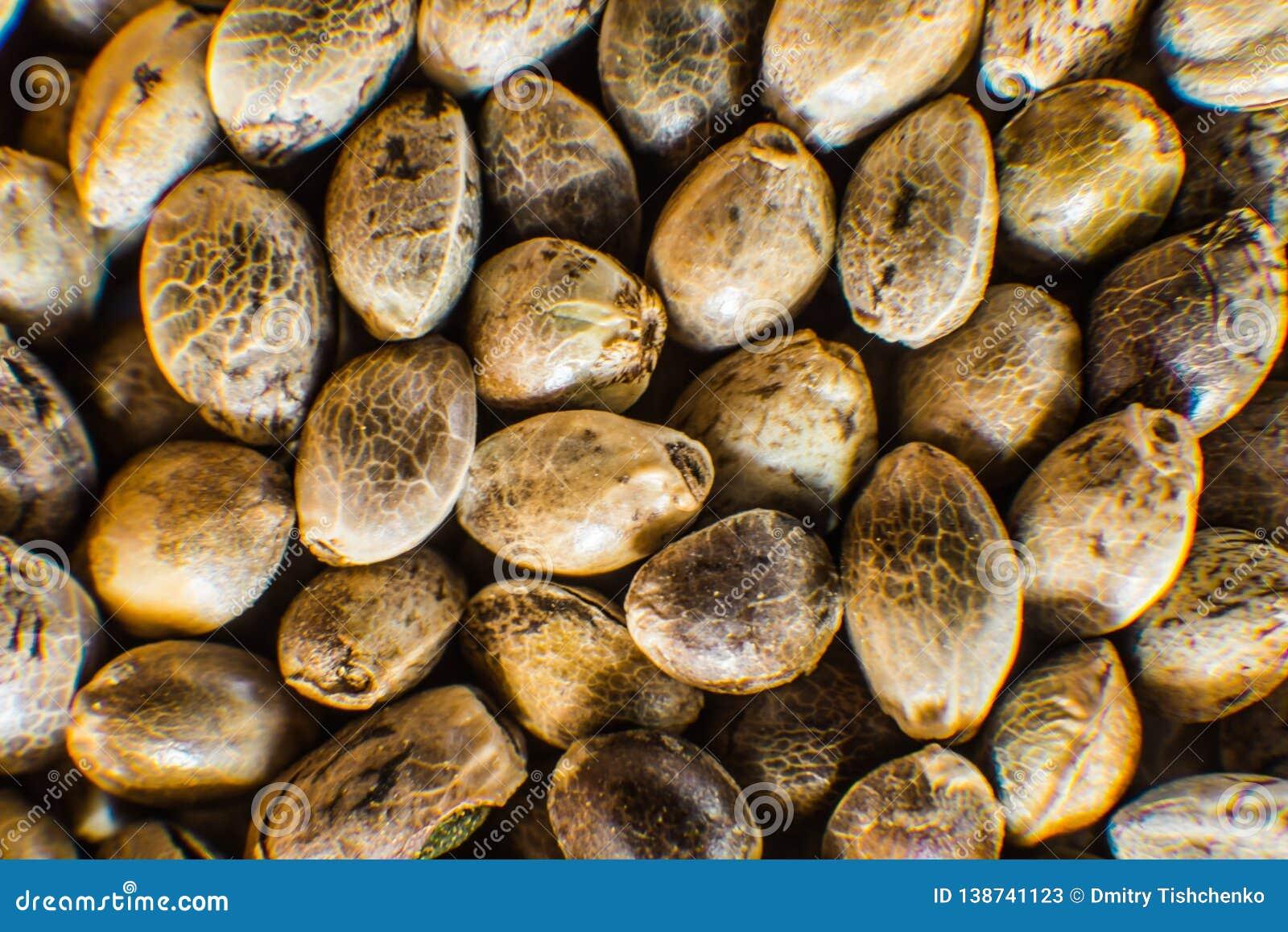Μακρο λεπτομέρεια του σπόρου μαριχουάνα Υπόβαθρο σπόρων κάνναβης στη μακροεντολή Πολλοί σπόροι καννάβεων Οργανικός σπόρος κάνναβη