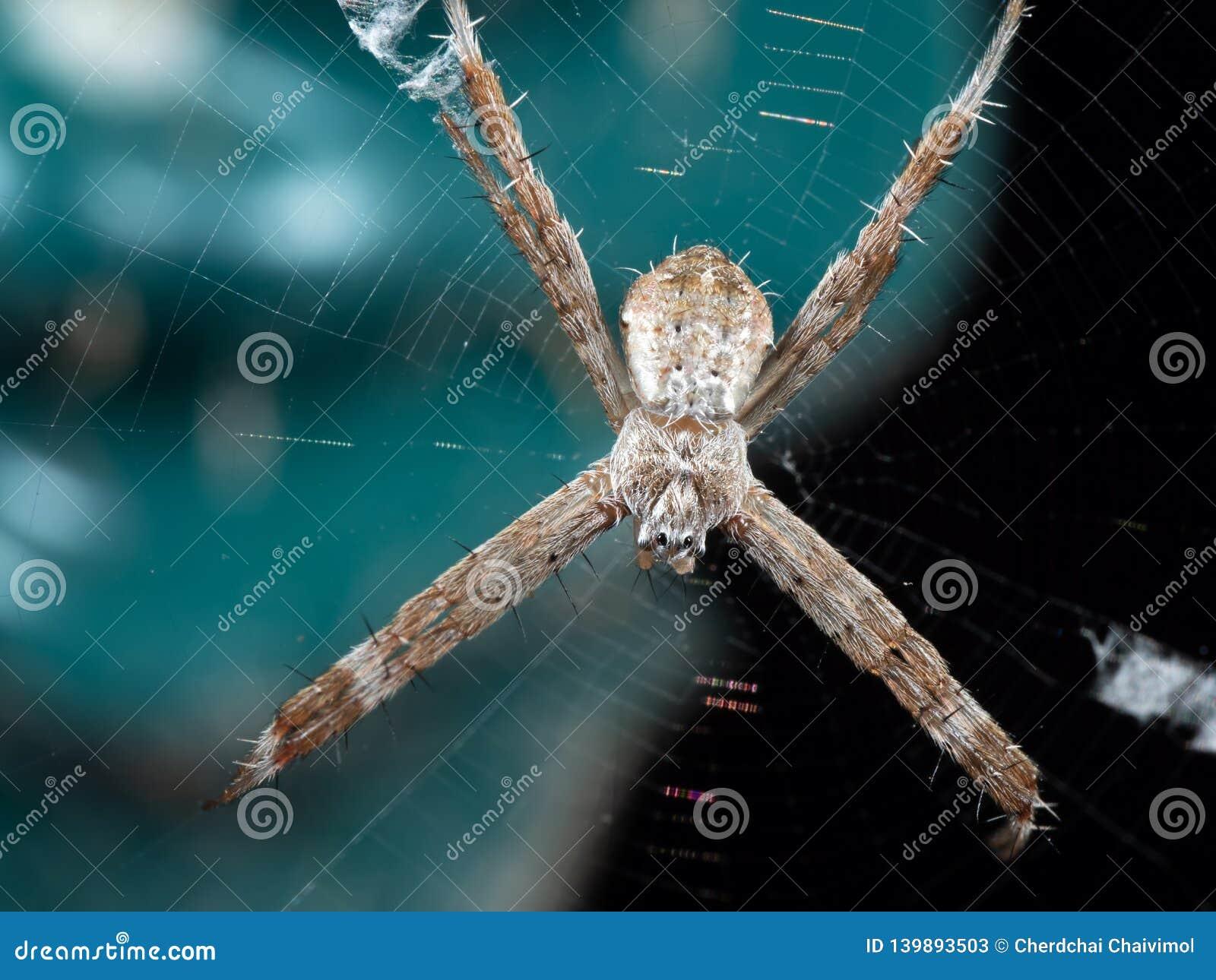 Μακρο φωτογραφία του ST Andrew& x27 διαγώνια αράχνη του s στον Ιστό που απομονώνεται στο υπόβαθρο