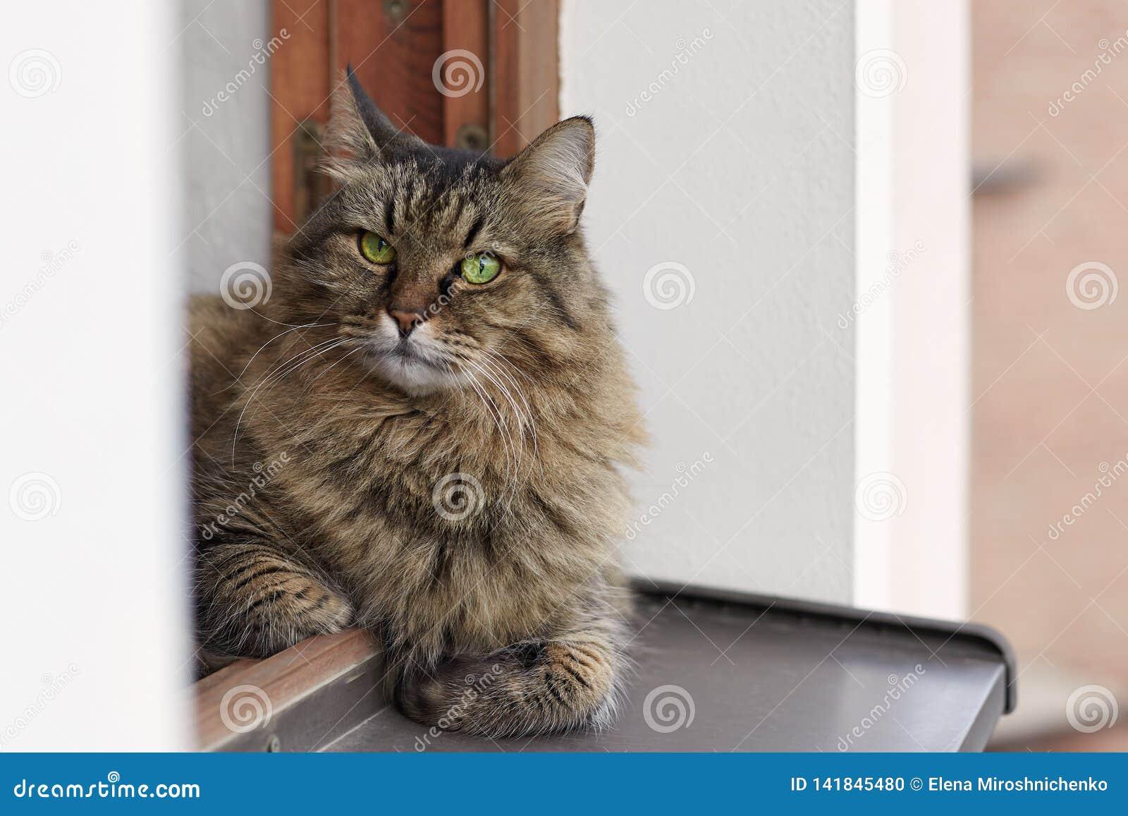 Μακρυμάλλης σιβηρική γάτα των tebby lais χρώματος στο παράθυρο έξω από το παράθυρο, ανώτερο πάτωμα του σπιτιού, μεγάλος, γούνινος