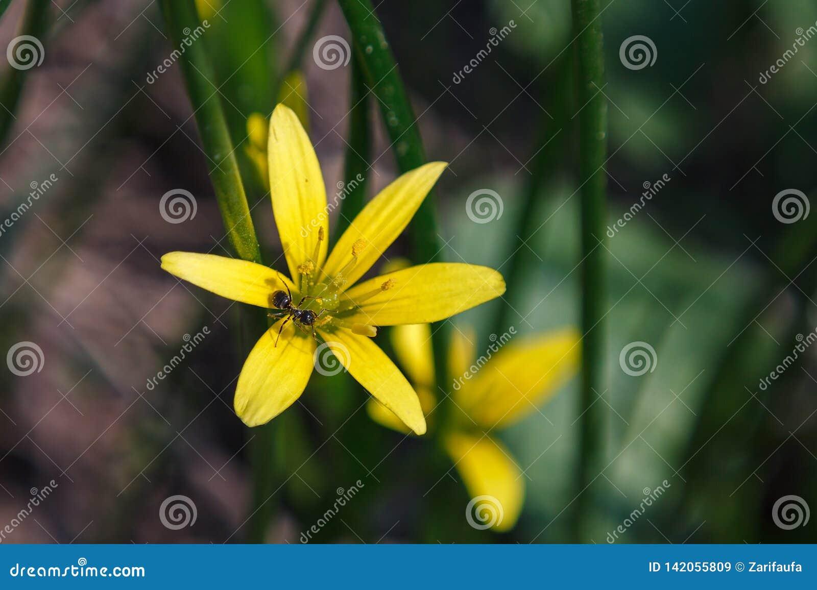 Μαύρο μυρμήγκι στις κίτρινες εγκαταστάσεις Nothoscordum λουλουδιών στη φυλή κρεμμυδιών μέσα στην οικογένεια Amaryllis