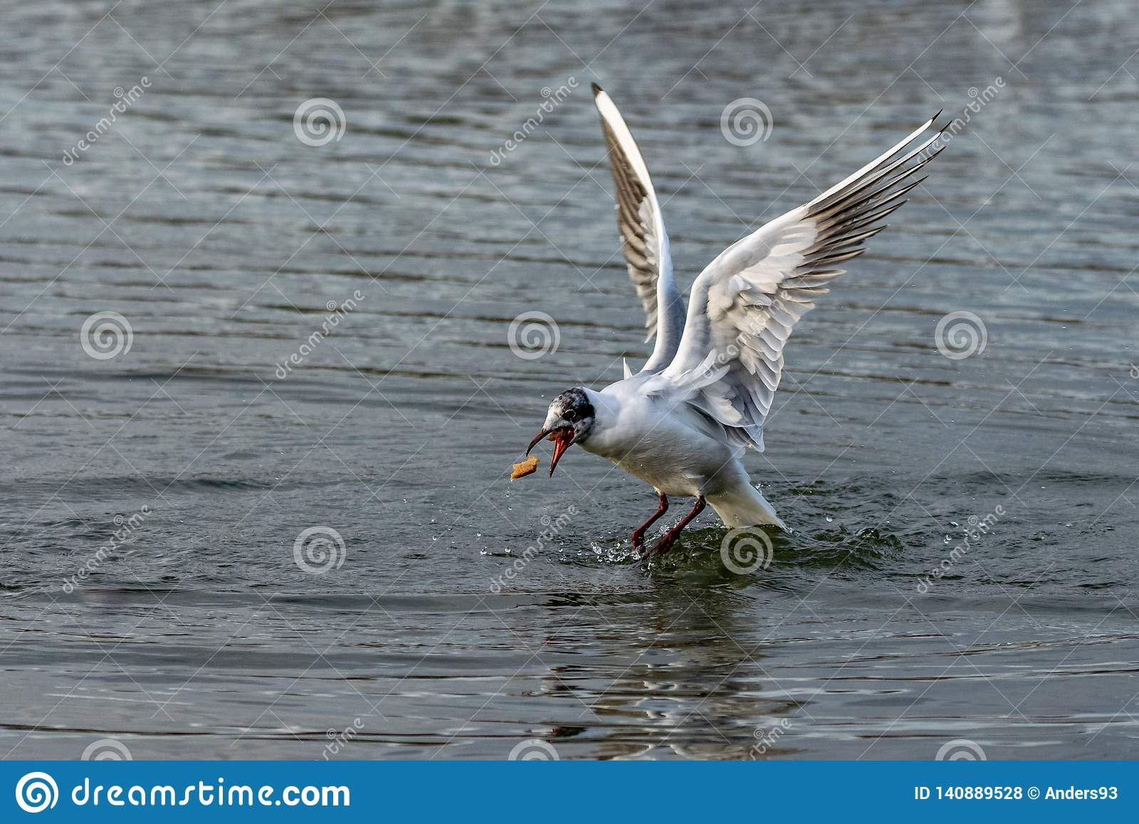 Μαυροκέφαλο seagull με το μεταβαλλόμενο φτέρωμα που πιάνει ένα κομμάτι του ψωμιού κατά την πτήση