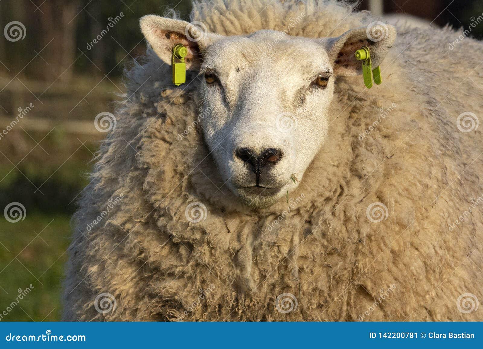 Μεγάλα άσπρα πρόβατα με τη μαύρη μύτη και πολλή μαλακή σγουρή τρίχα που διαμορφώνει το παλτό της