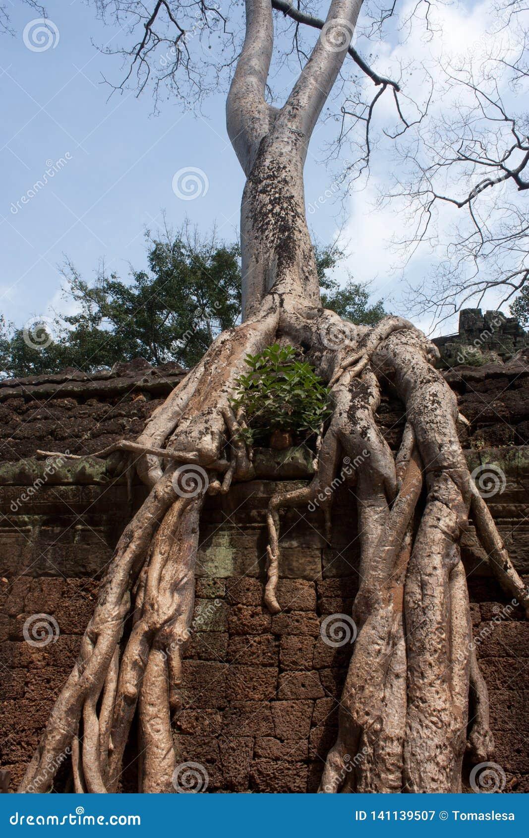 Μεγάλα δέντρα που αυξάνονται μέσα - μεταξύ των πετρών με τις ρίζες τους στο ναό TA Prohm στο ναό Angkor στην Καμπότζη