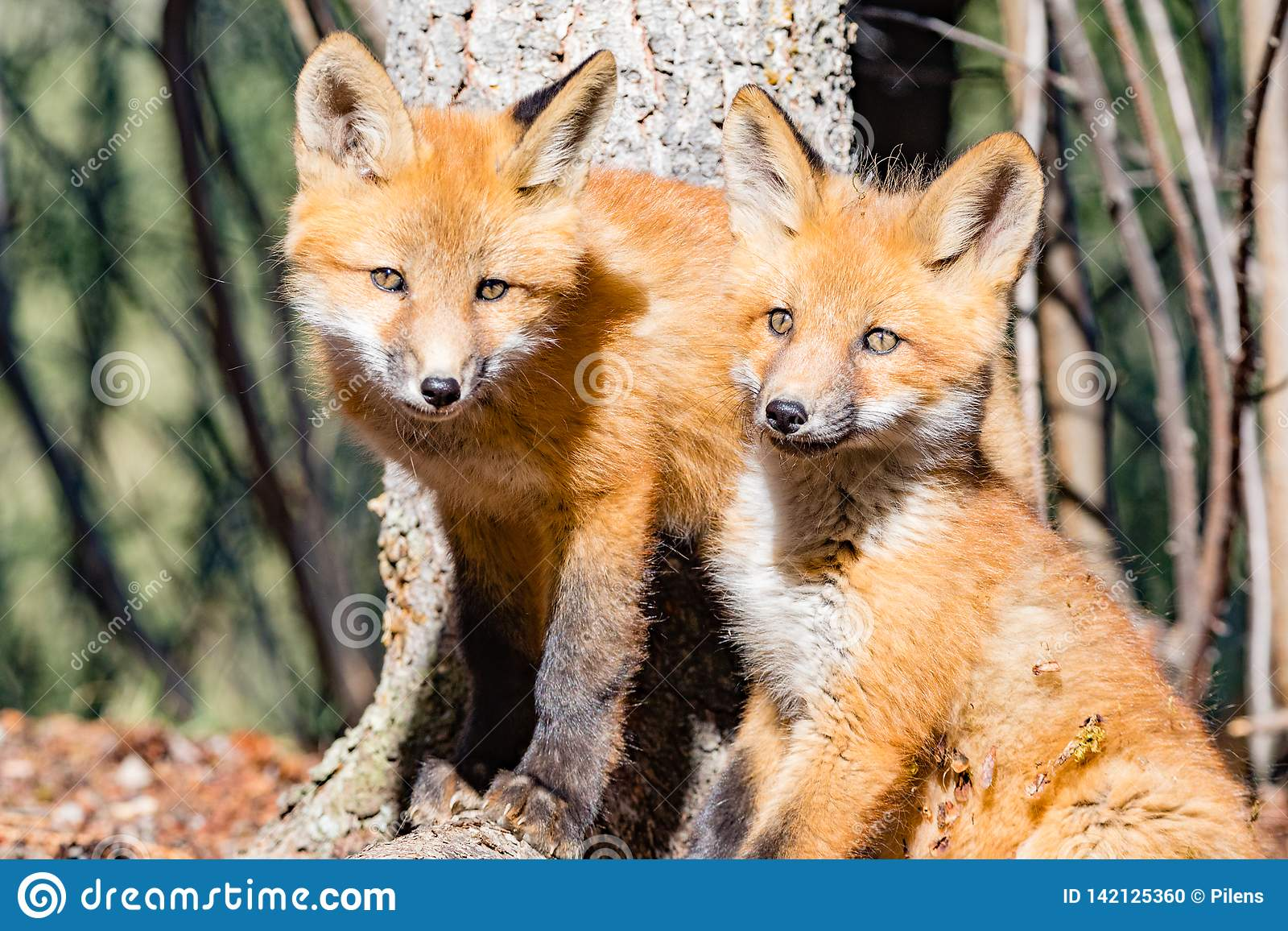 Νέα κόκκινα κουτάβια αλεπούδων που παίρνουν το σπάνιο σπάσιμο από το παιχνίδι