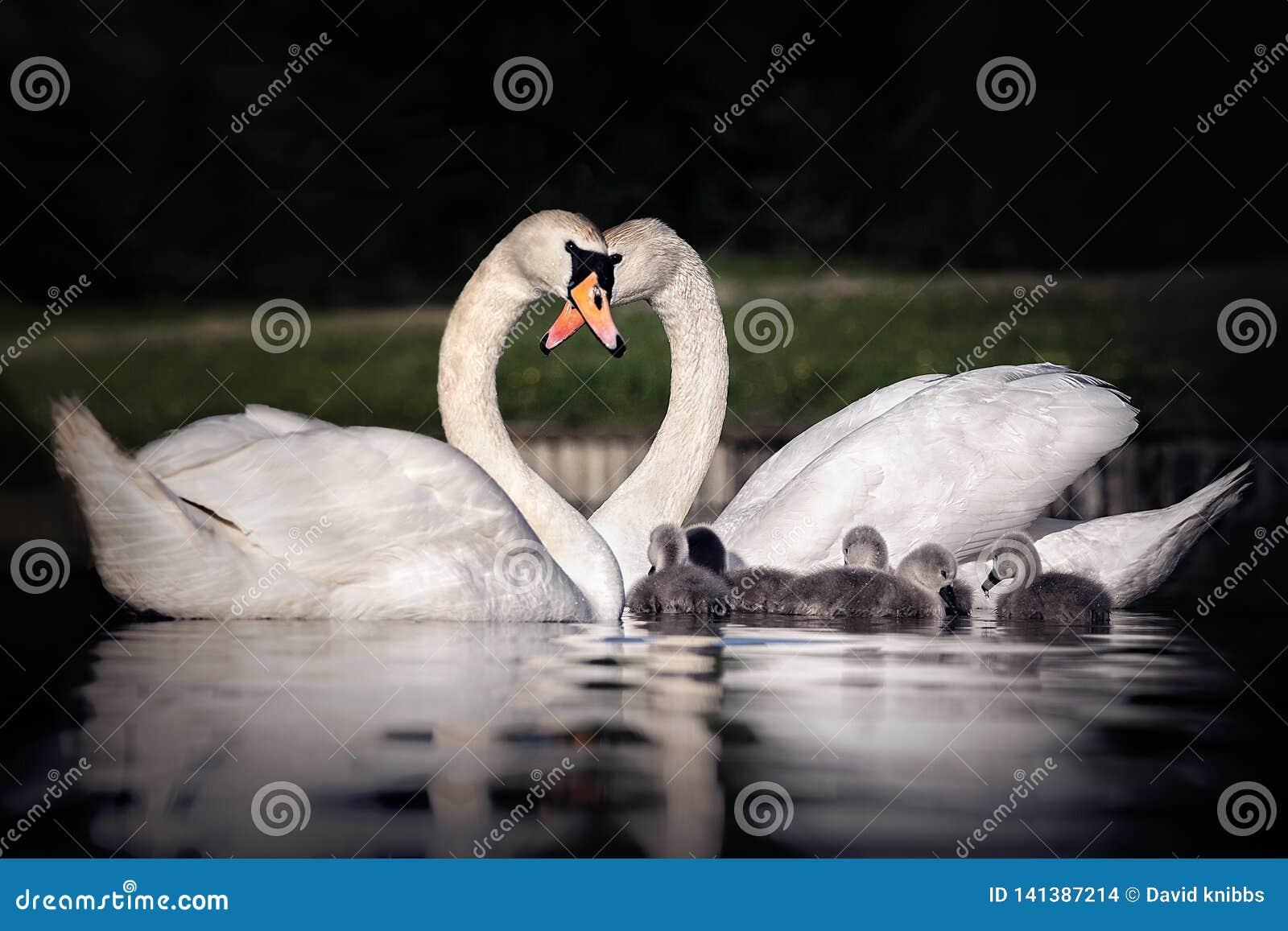 Οικογένεια των κύκνων που κατασκευάζει μια καρδιά με τους λαιμούς τους