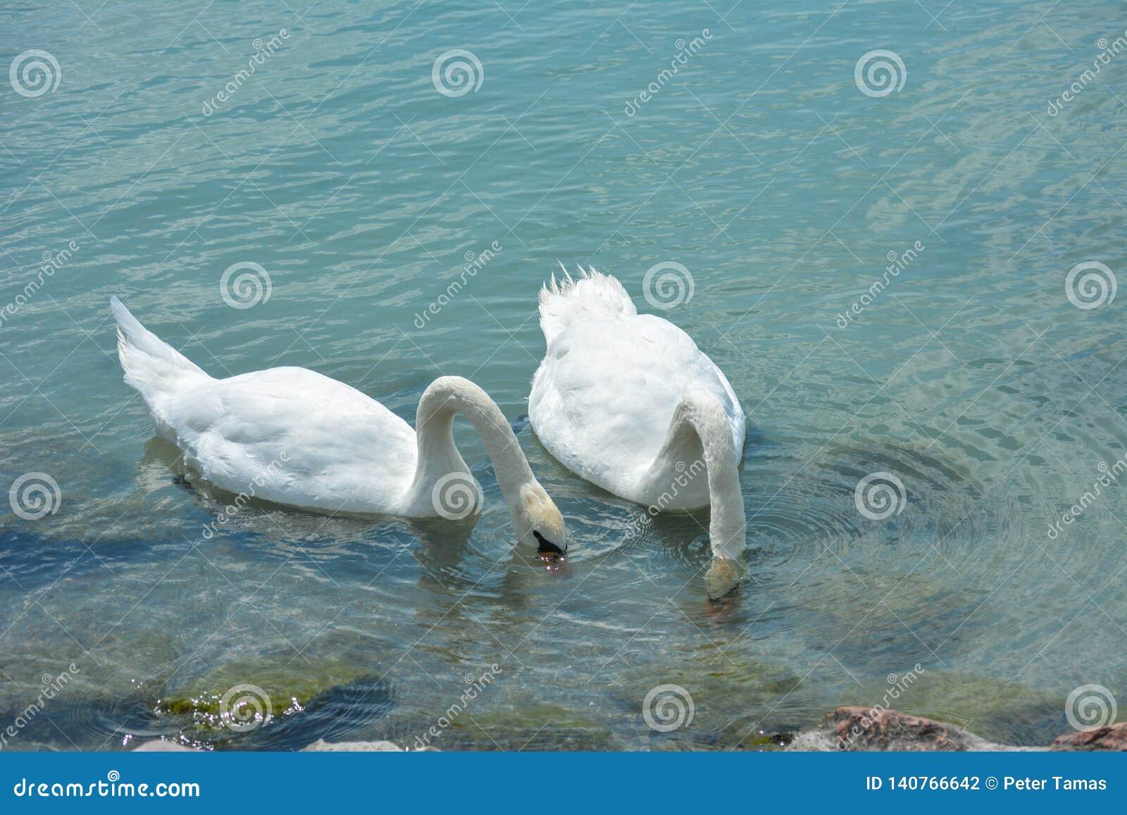 Οι κύκνοι τρώνε στη λίμνη Balaton