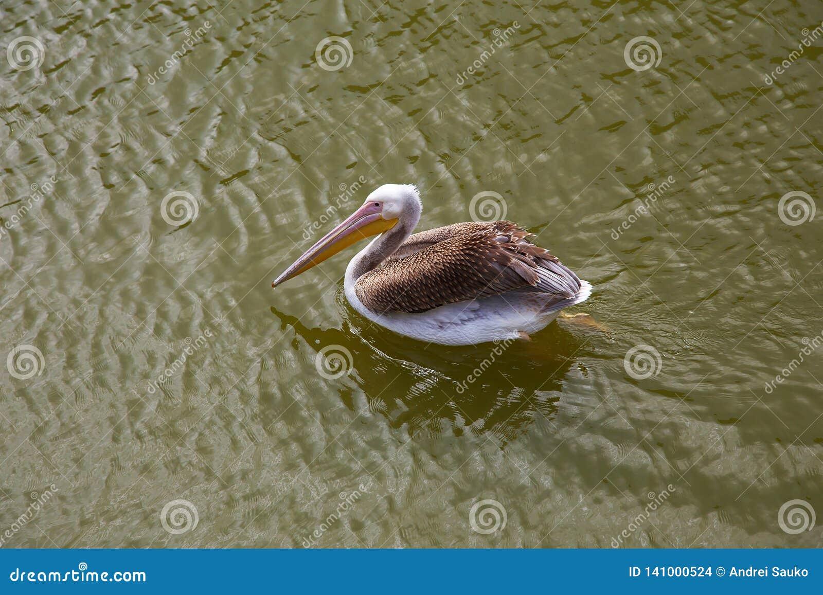 Οι πελεκάνοι κολυμπούν και πιάνουν τα ψάρια