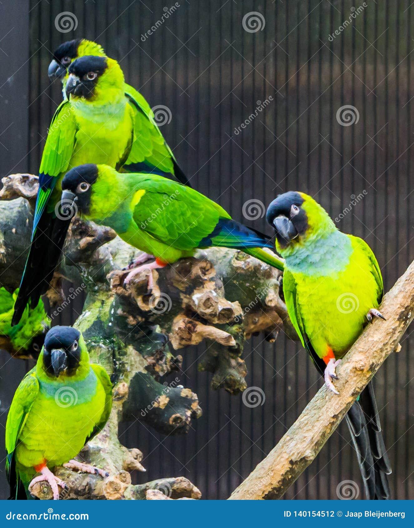 Ομάδα Nanday parakeets μαζί στο κλουβί, δημοφιλή κατοικίδια ζώα από τους τροπικών και ζωηρόχρωμων μικρούς παπαγάλους της Αμερικής