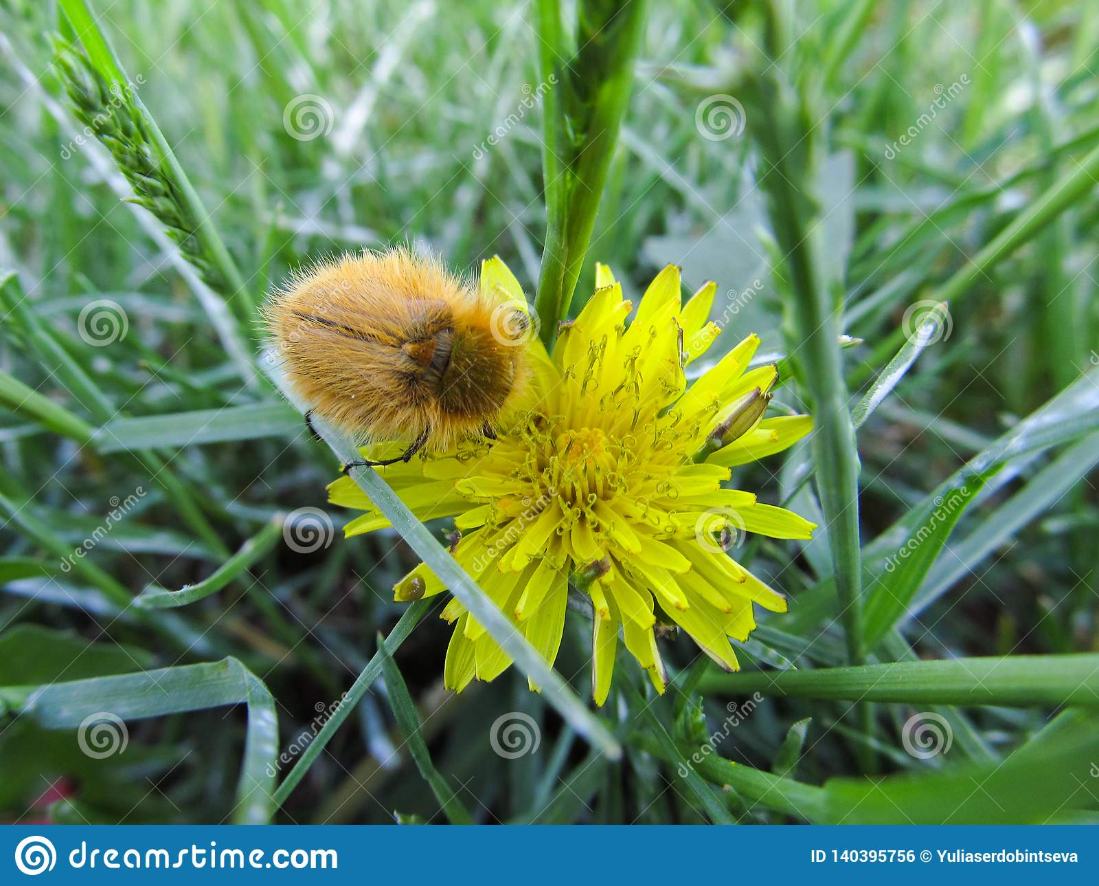 Ο κίτρινος γούνινος κάνθαρος κάθεται σε ένα κίτρινο λουλούδι σε ένα πράσινο λιβάδι
