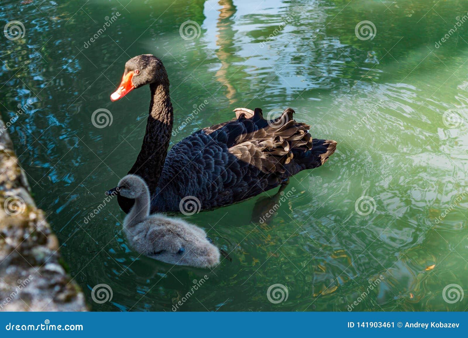 Ο μαύροι Κύκνος και Cub που κολυμπούν στη λίμνη