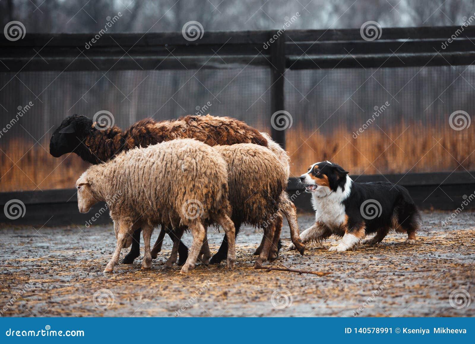 Δύο κοκκινομάλλη γραπτά πρόβατα κατά τη βοσκή σκυλιών κόλλεϊ συνόρων στη μάντρα ακατέργαστο σκυλί αθλητική πειθαρχία Έννοια Σκυλί