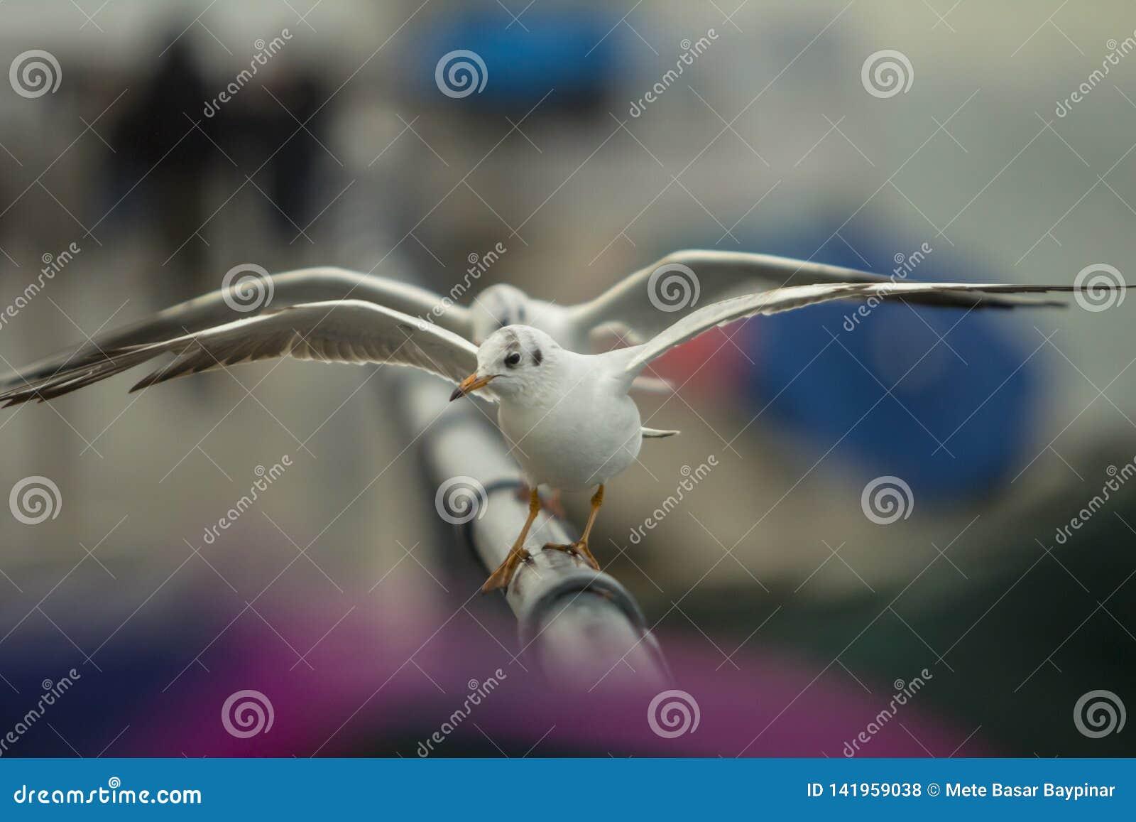 Δύο seagulls ένα μπροστά από άλλο χορεύοντας φτερά ανοικτά σε έναν φράκτη αργιλίου με την ρόδινος-πορφύρα και το μπλε bokeh