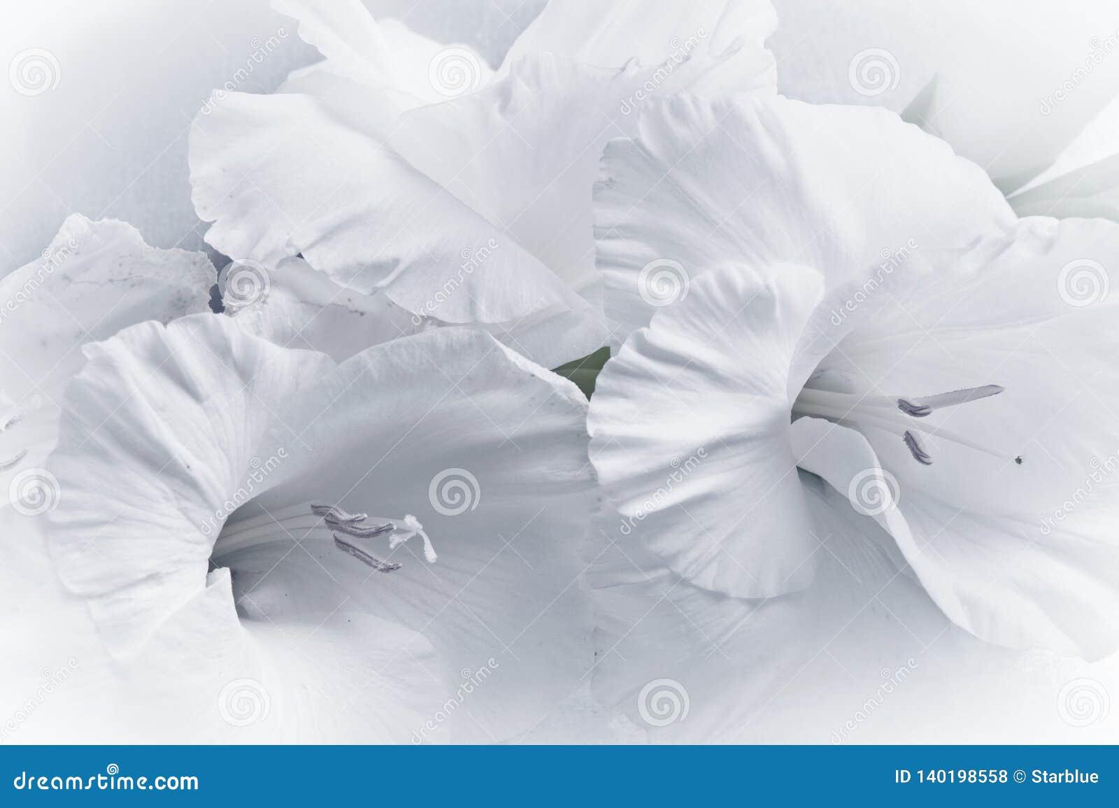 Ρομαντικός άσπρος ξίφος-κρίνος gladiolus gladiola λουλουδιών στο πλήρες πλαίσιο